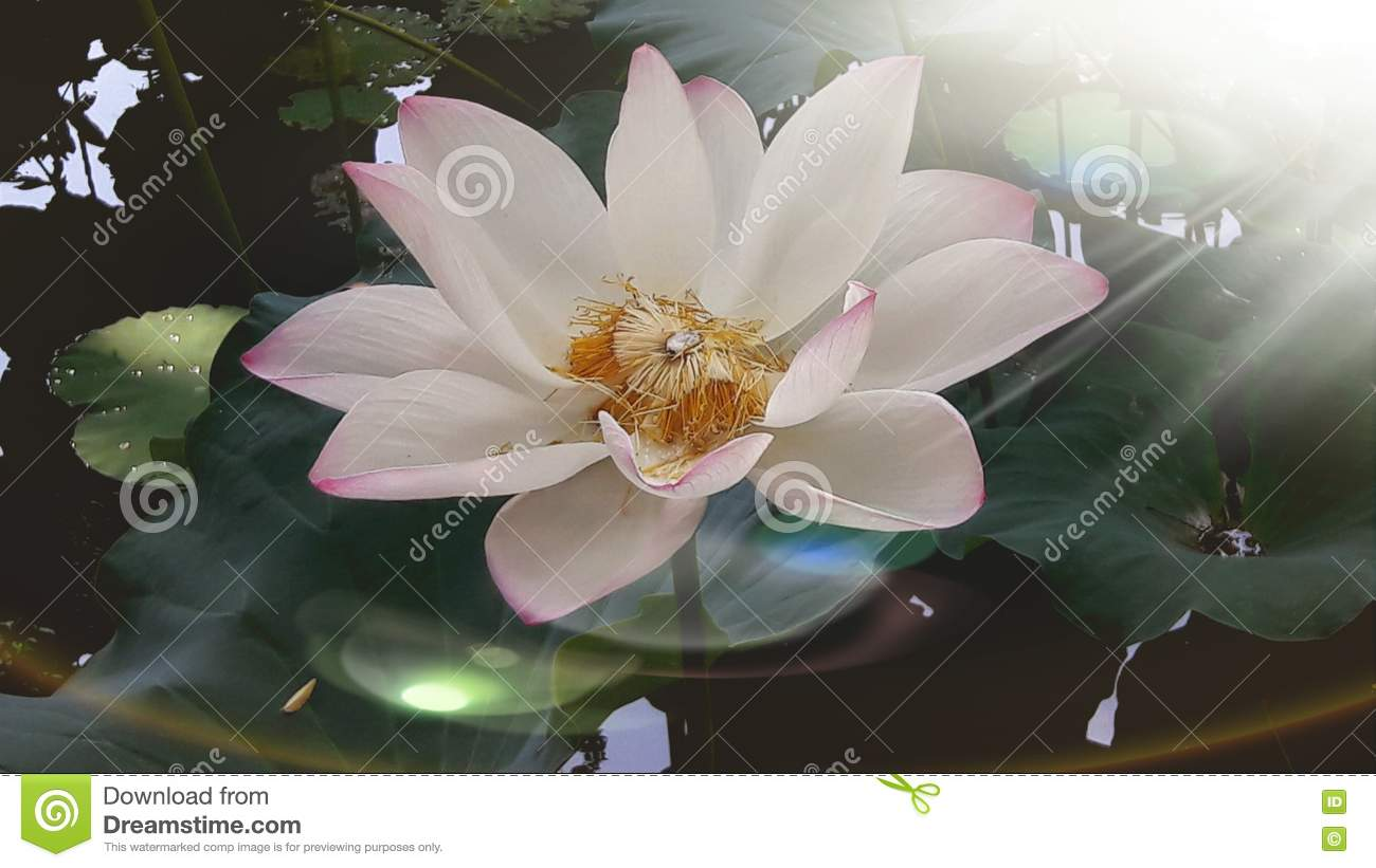 Lotus Flower Stock Image Image Of Flower Delicate Core 73884021
