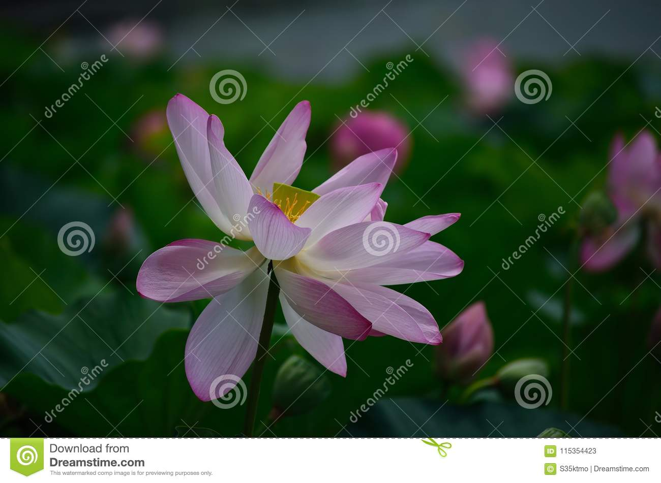 Lotus Flower In Early Morning Kyoto Japan Stock Image Image Of