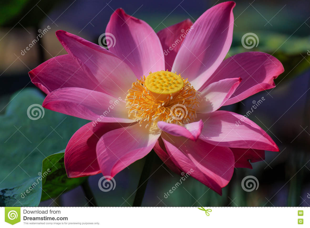 Lotus Flower In Early Morning Stock Image Image Of Flora