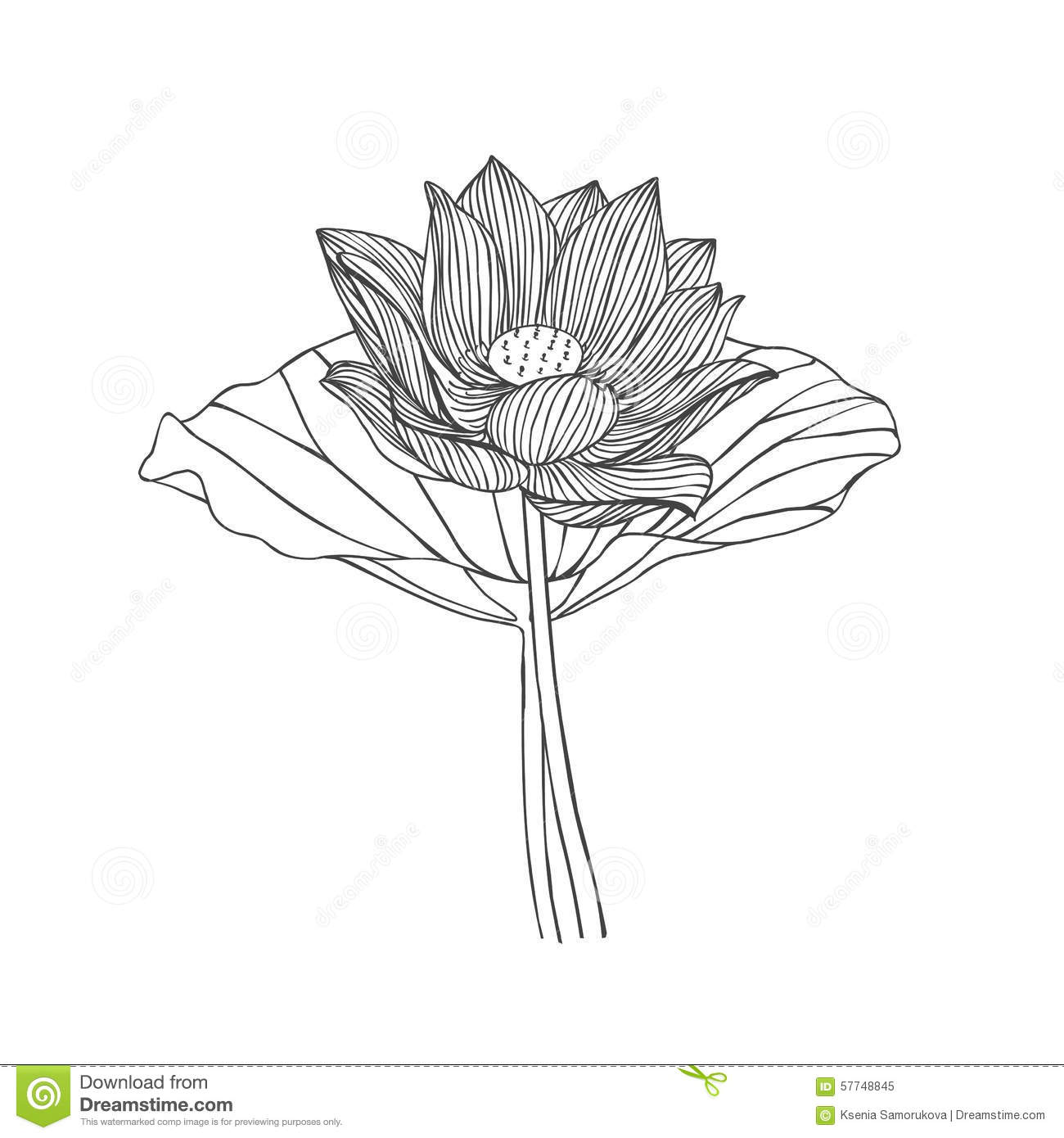 Lotus Flower Stock Vector Illustration Of Lily Bouquet 57748845