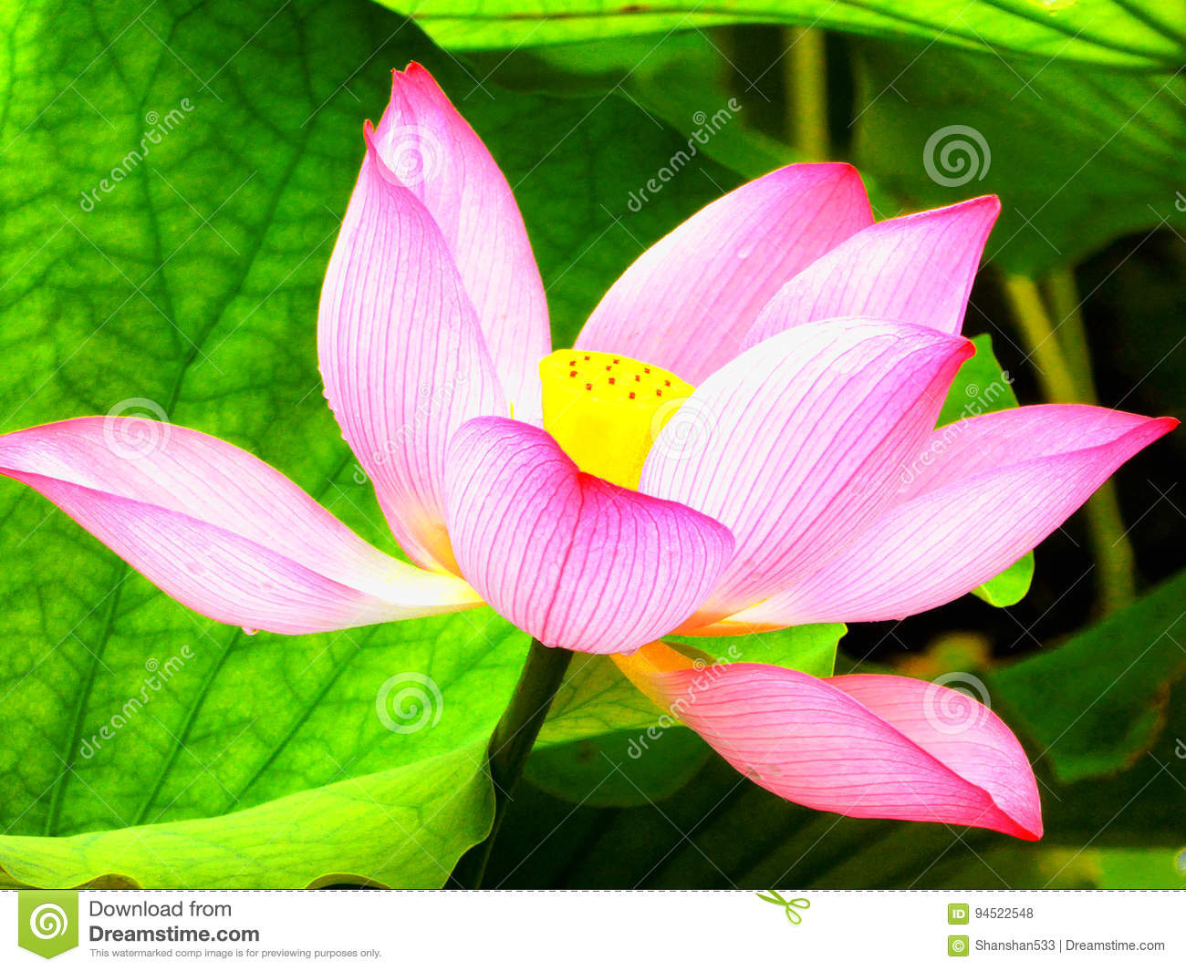 Lotus Flower Flowering Inside Guyi Garden Stock Photo Image Of