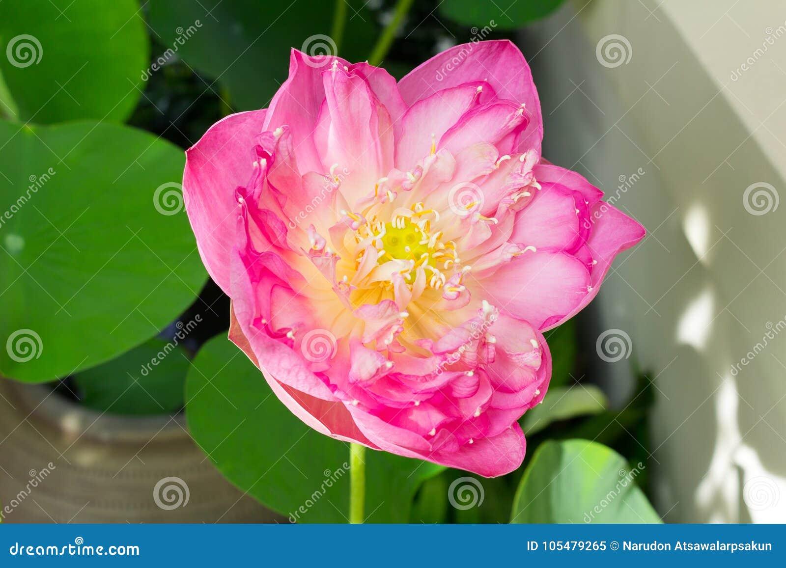 Lotus flower in full bloom symbolizing religion buddhism puri download lotus flower in full bloom symbolizing religion buddhism puri stock image mightylinksfo