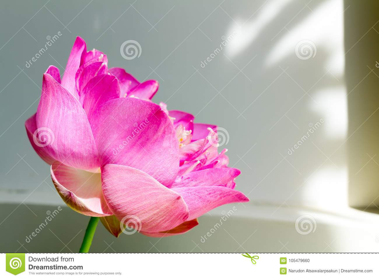 Lotus Flower In Full Bloom Symbolizing Religion Buddhism Purity