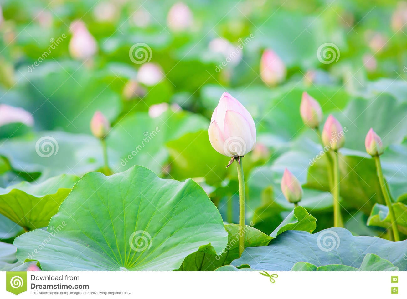 Lotus Flower Gardenlotus Pond Stock Image Image Of Aquatic