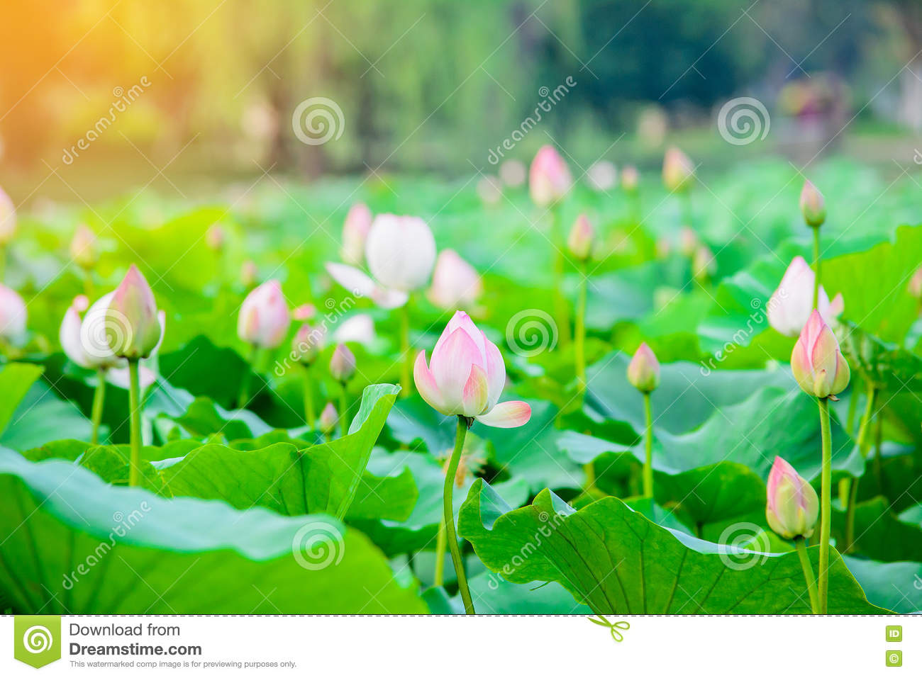 Lotus Flower Gardenlotus Pond With Sun Light Effect Stock Image