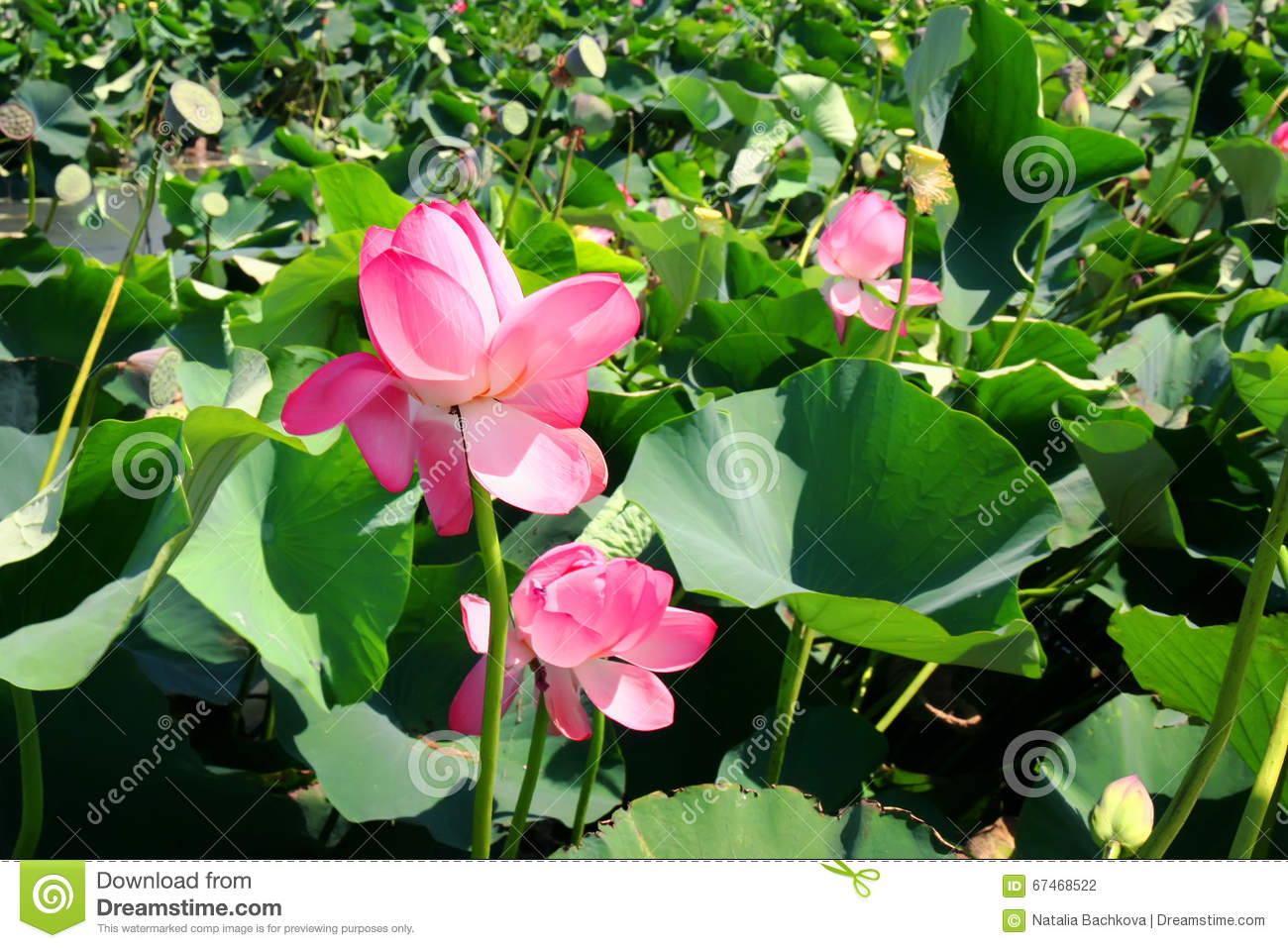 Lotus Flower Growing In Water Stock Photo Image Of Spring Blossom