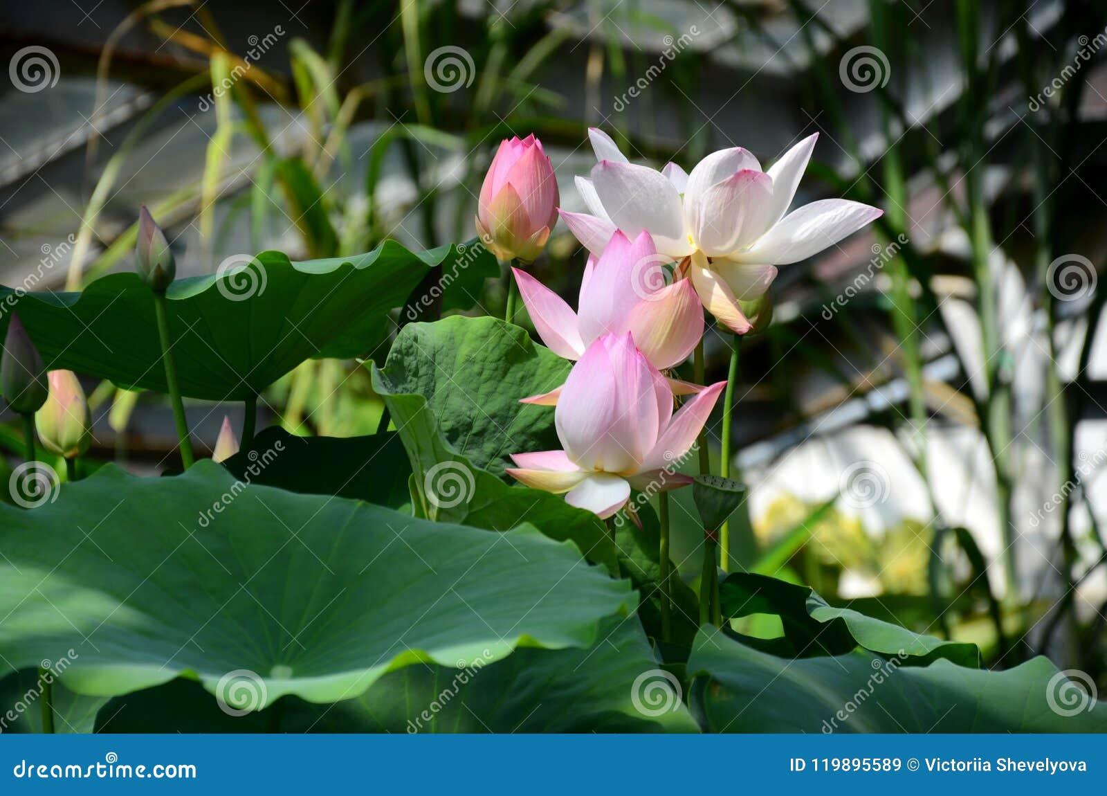 Lotus Flower Harmony Stock Image Image Of Flower 119895589
