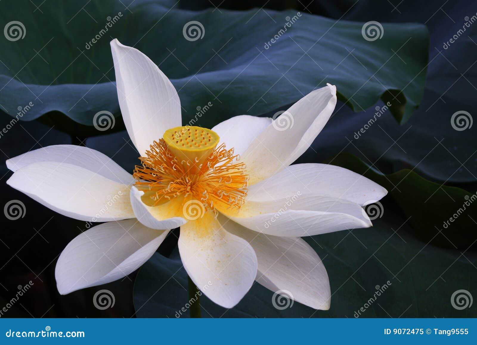 Lotus Flowerhindu Lotus Stock Image Image Of White 9072475