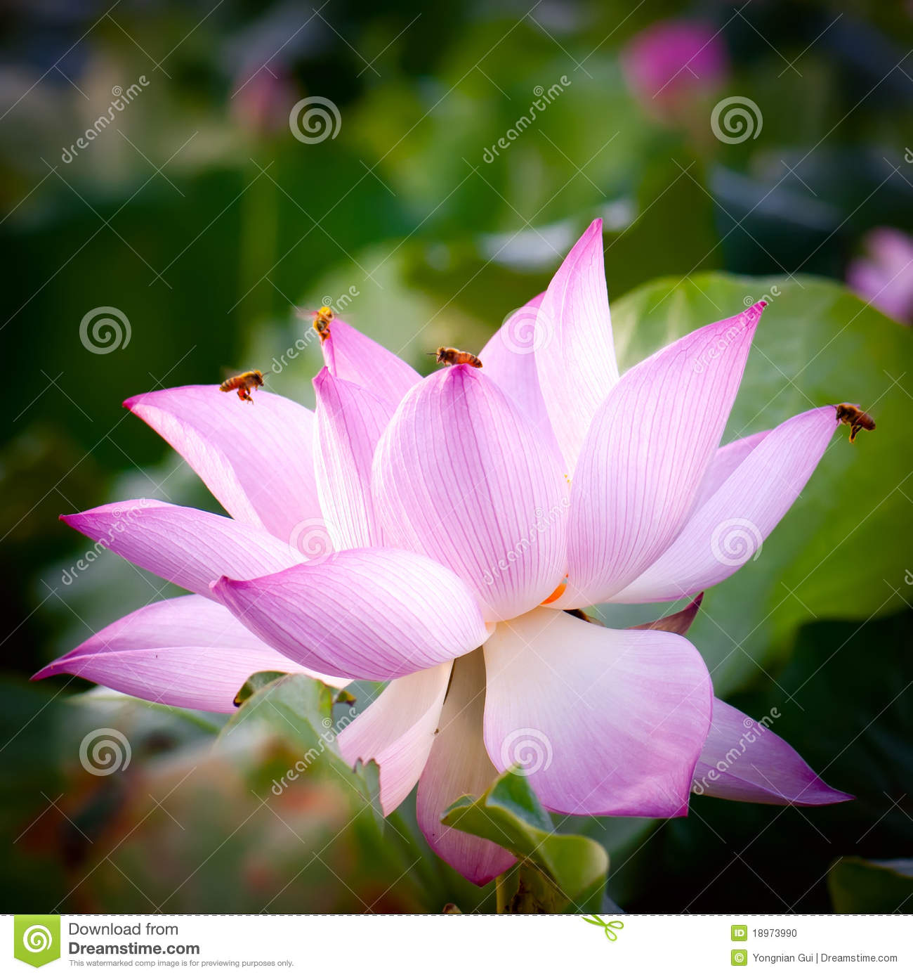 lotus flowerhindu lotus stock photo  image, Beautiful flower