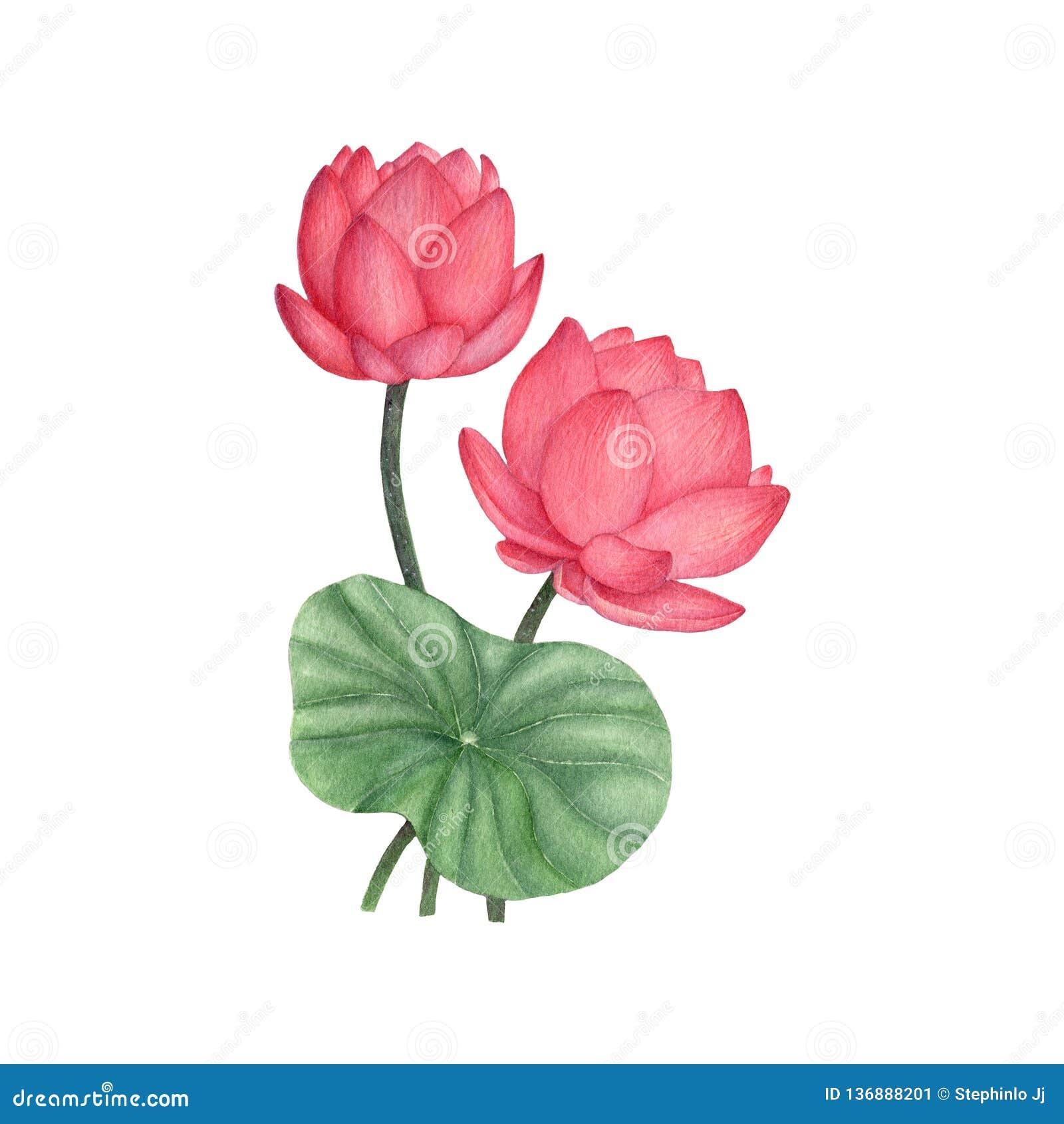 Lotus Flower Illustration Watercolor Paintingwatercolor Hand