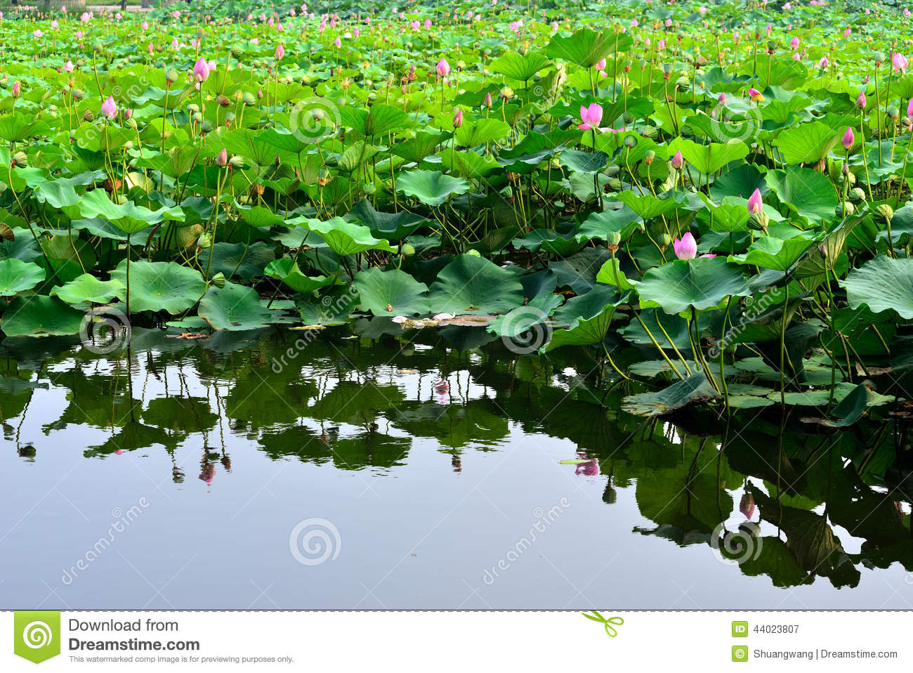 Lotus Flower Stock Image Image Of Culture Bloom Indian 44023807