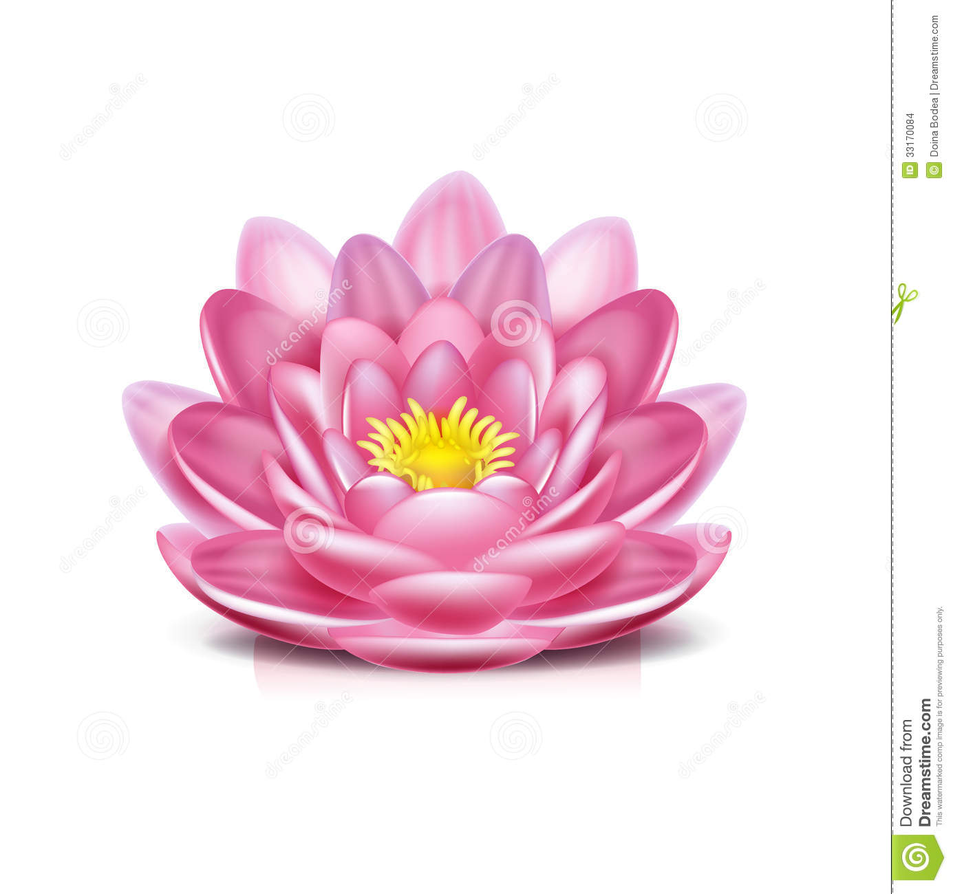 Single Lotus Flower Isolated On White Stock Image Image Of