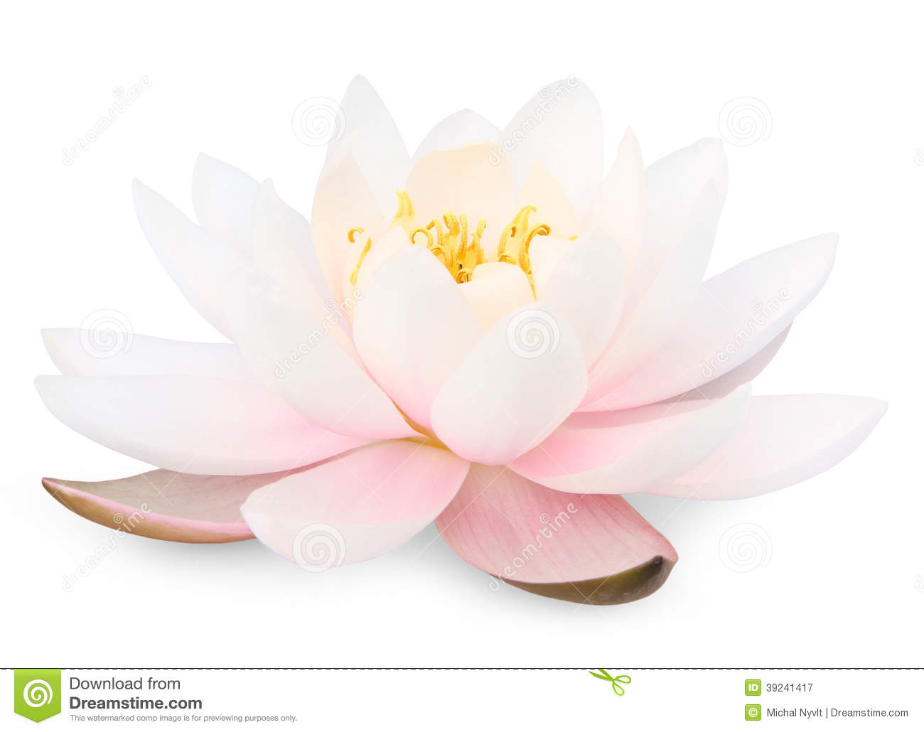 Lotus Flower Stock Photo Image 39241417