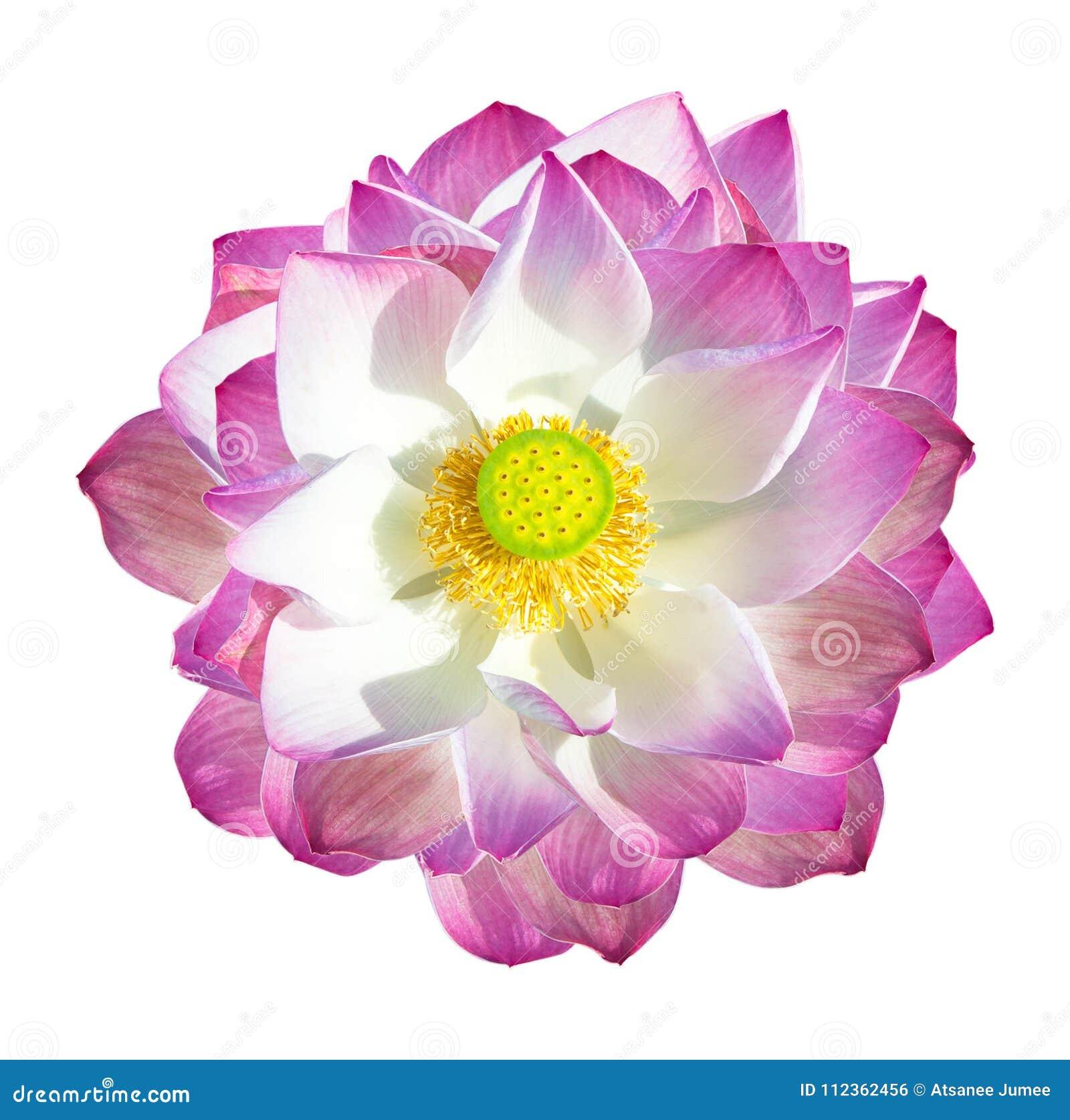 Lotus Flower Isolated On White Background Stock Photo Image Of