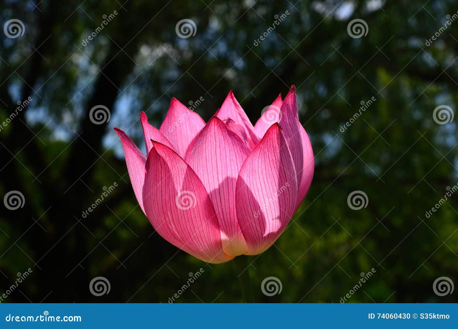 Lotus Flower At Japanese Garden, Kyoto Japan. Stock Photo - Image ...