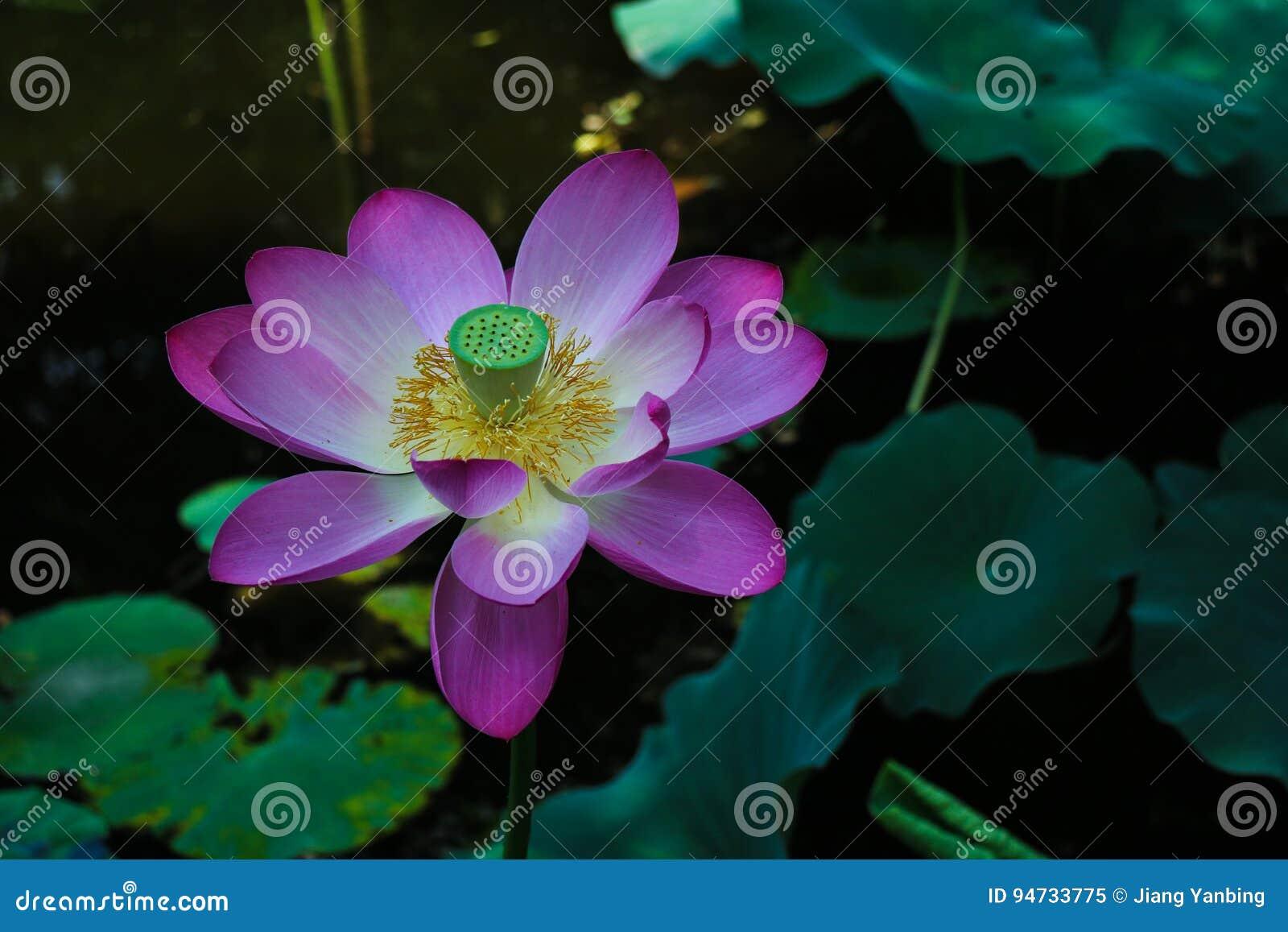 Lotus flower stock image image of lotus flora plant 94733775 royalty free stock photo izmirmasajfo