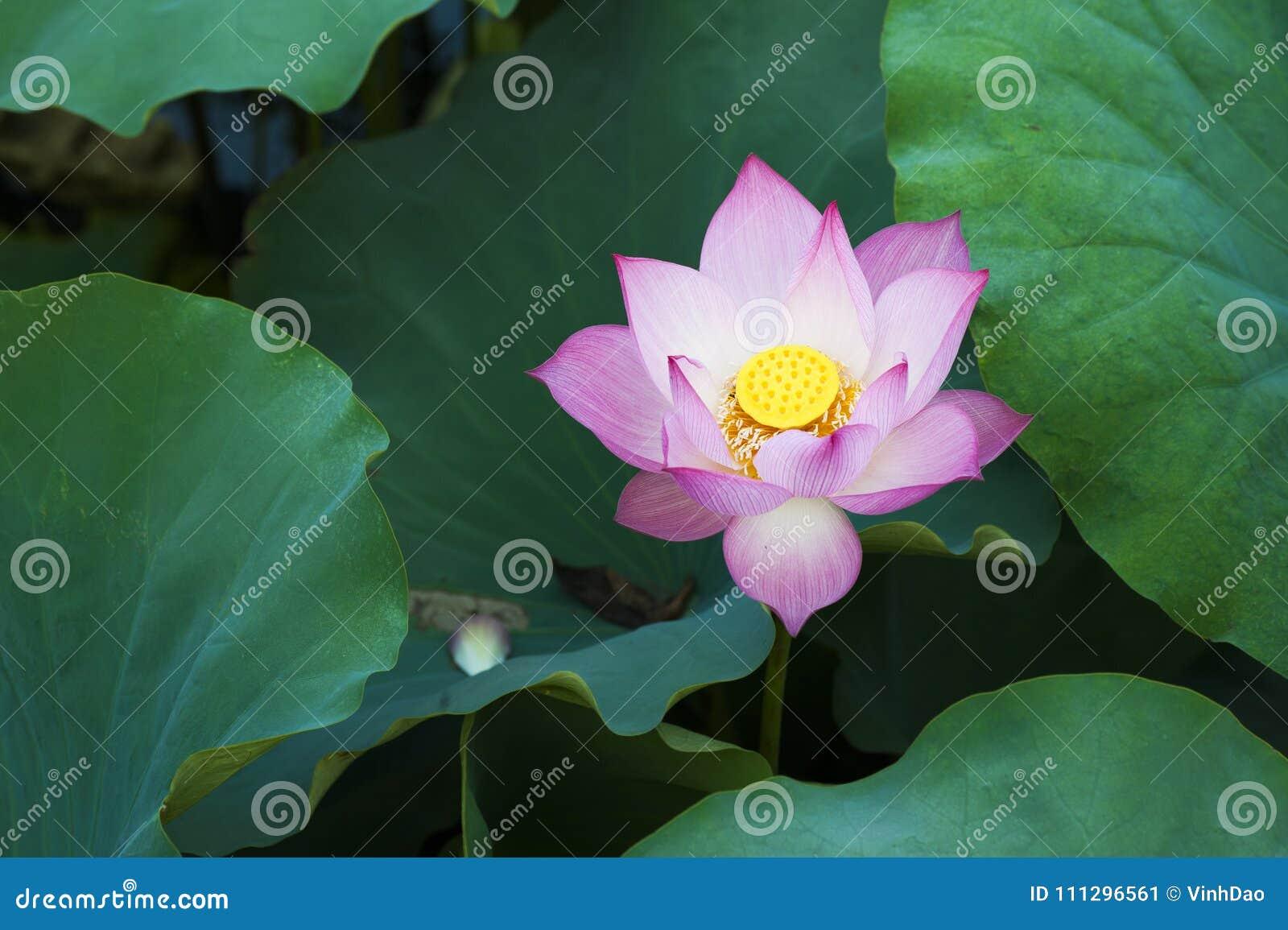 Lotus flower in lotus lake