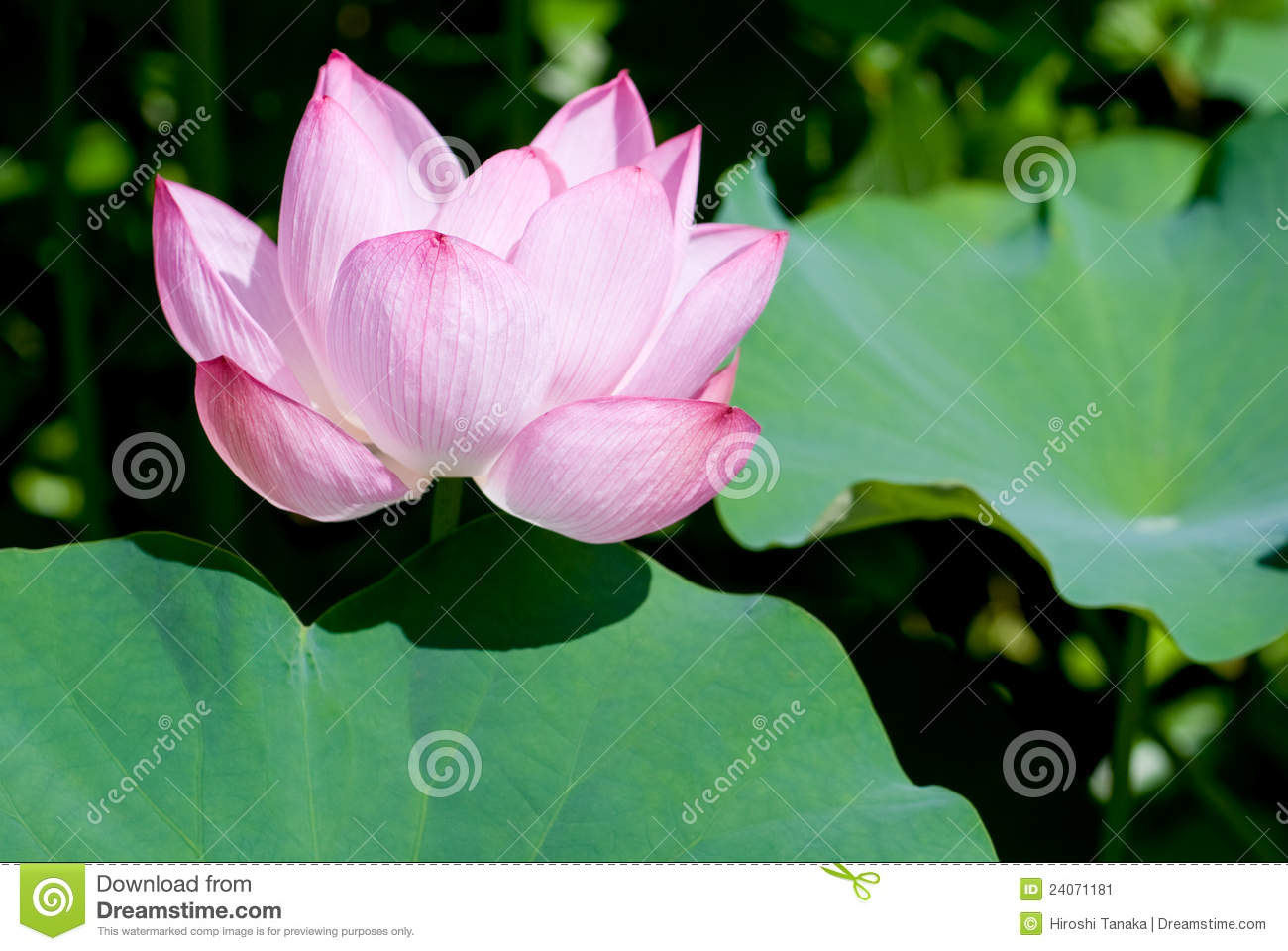 Lotus Flower With Leaf Stock Image Image Of Beautiful 24071181