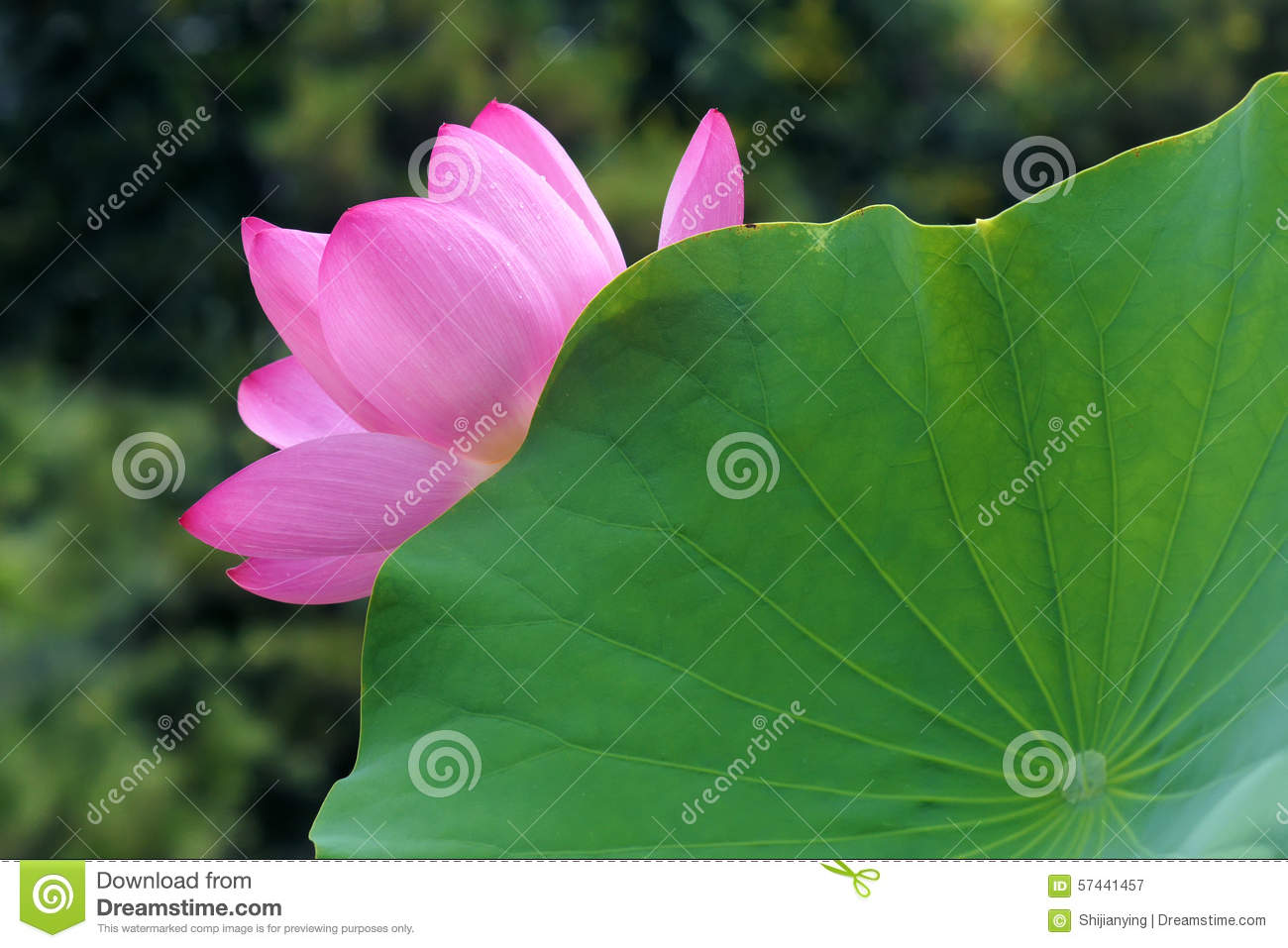 Lotus Flower And Leaf Stock Image Image Of Pink Hydrophyte 57441457