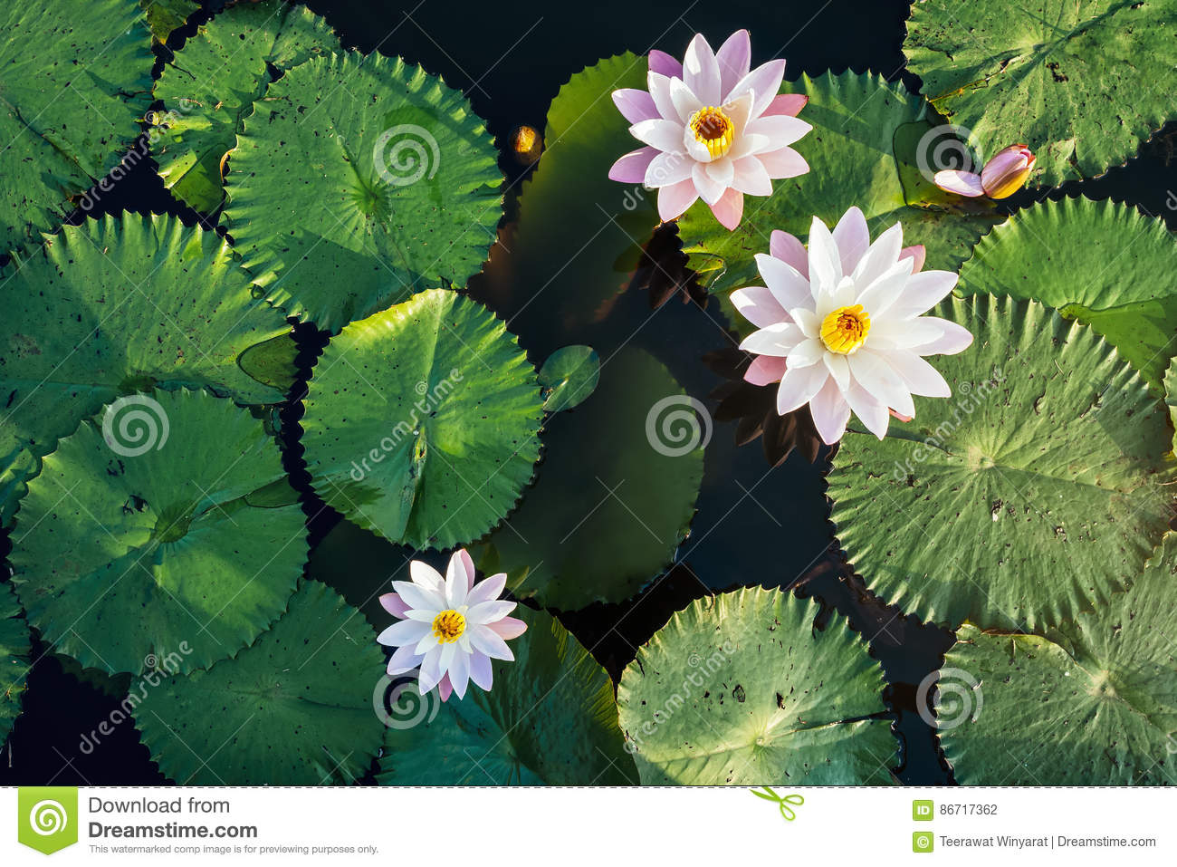 Lotus Flower And Leaf In Pond Water Surface Top View Outdoor Stock