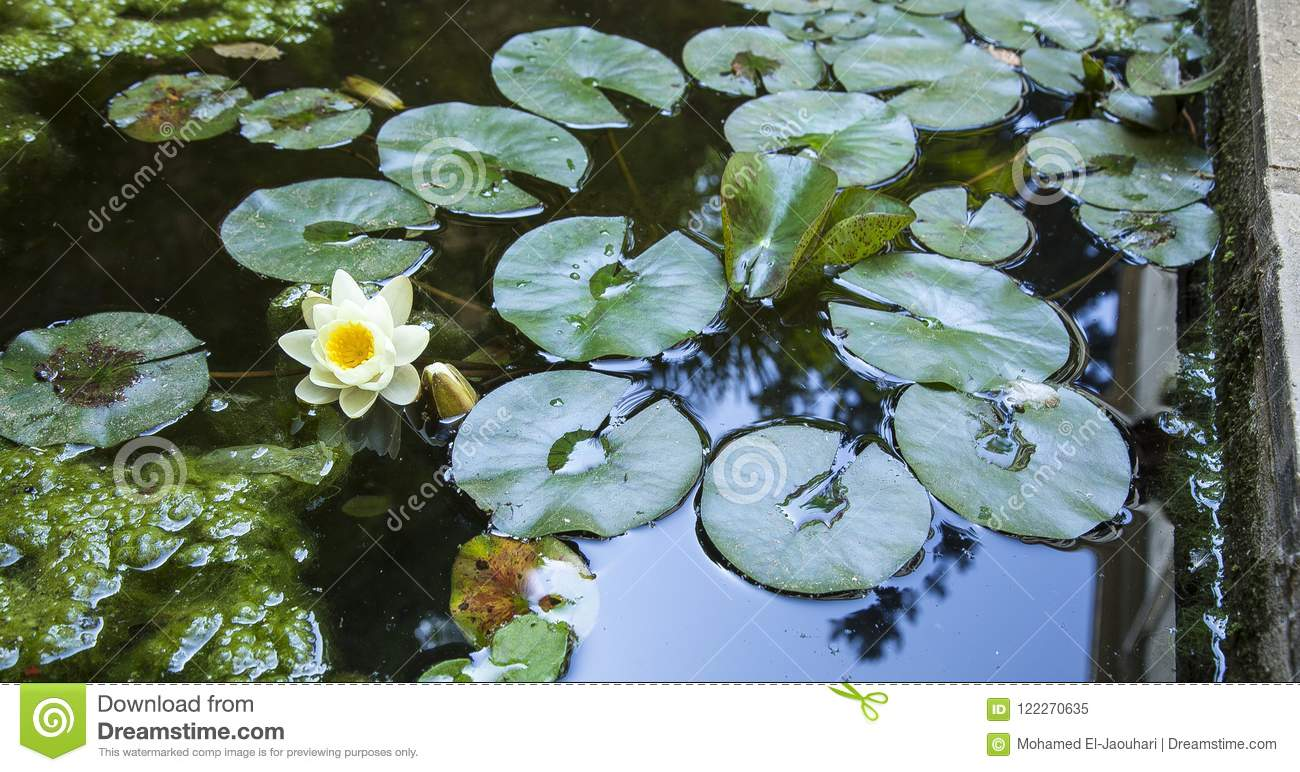 Lotus flower on water with reflection.