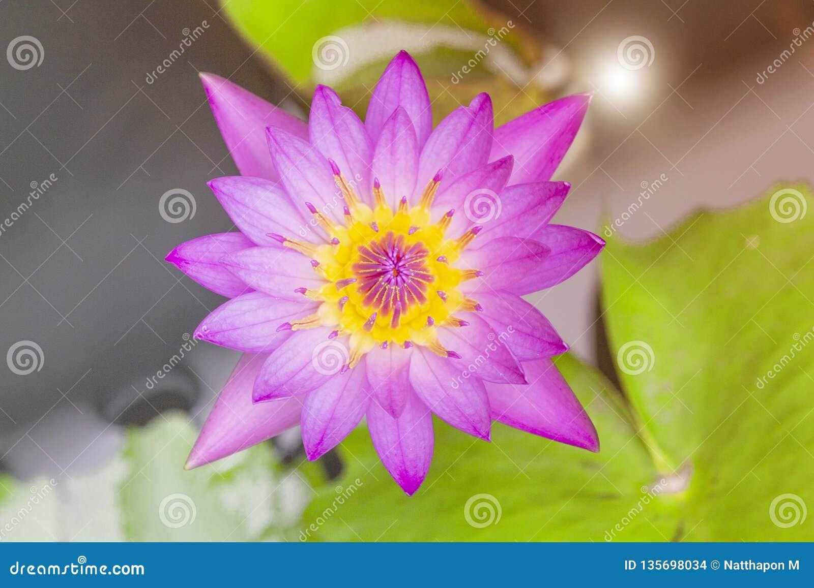 Flor De Lotus Vista De Cima