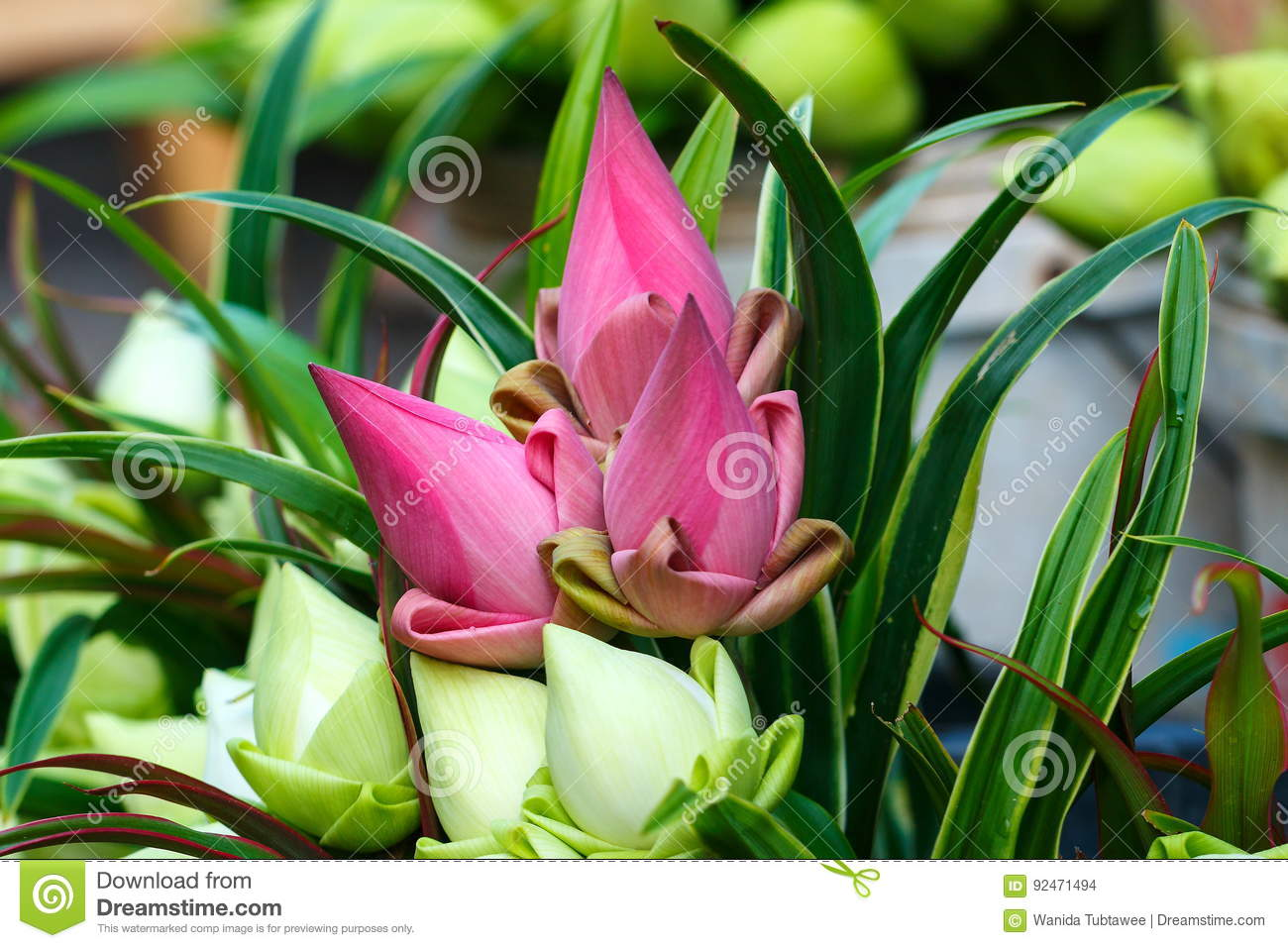 Lotus flowerlotus flower for buddhist worship buddha in temple download lotus flowerlotus flower for buddhist worship buddha in temple traditionof thailand stock izmirmasajfo