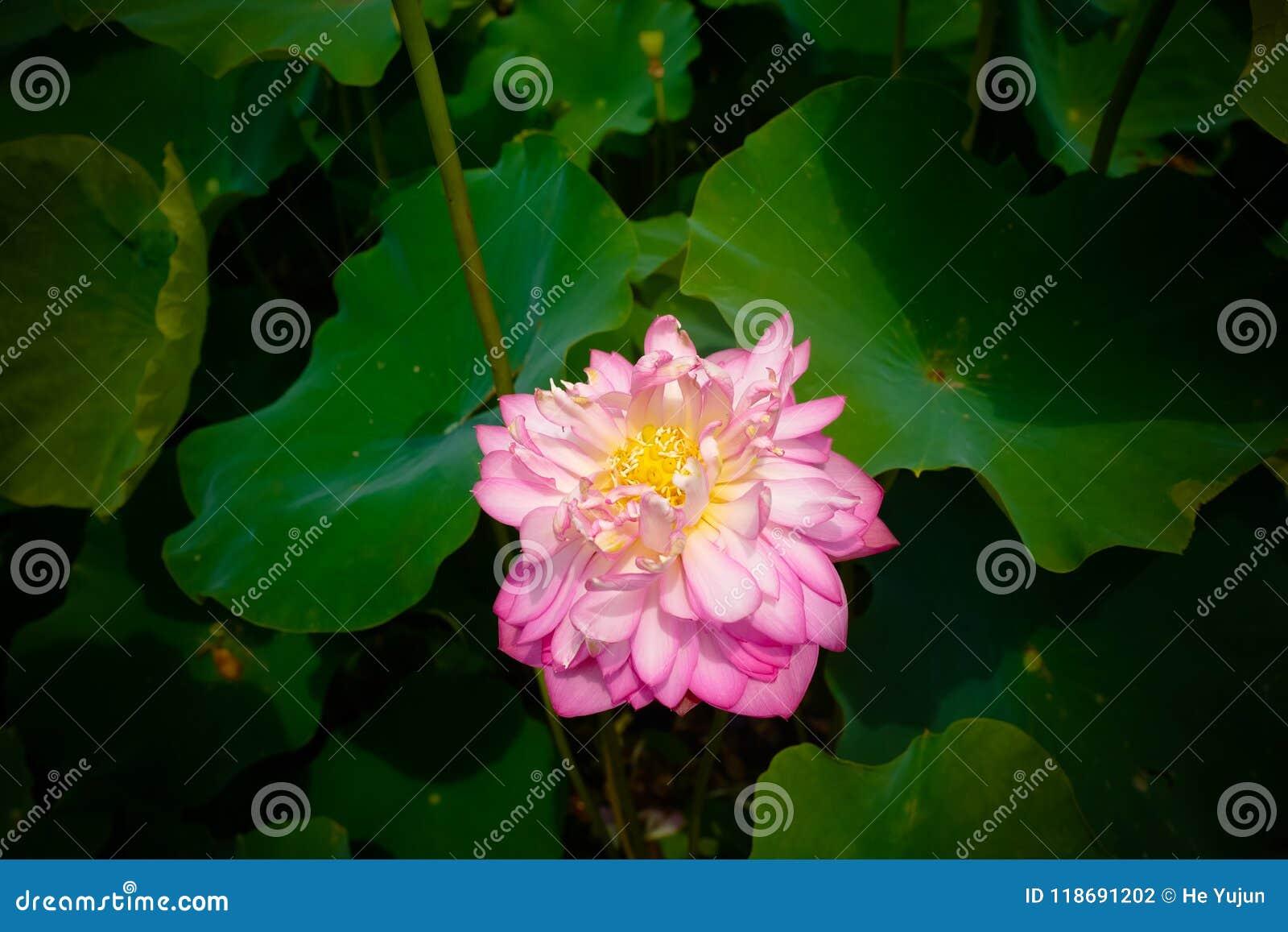 Lotus Flower Stock Photo Image Of Lotus Root Flower 118691202