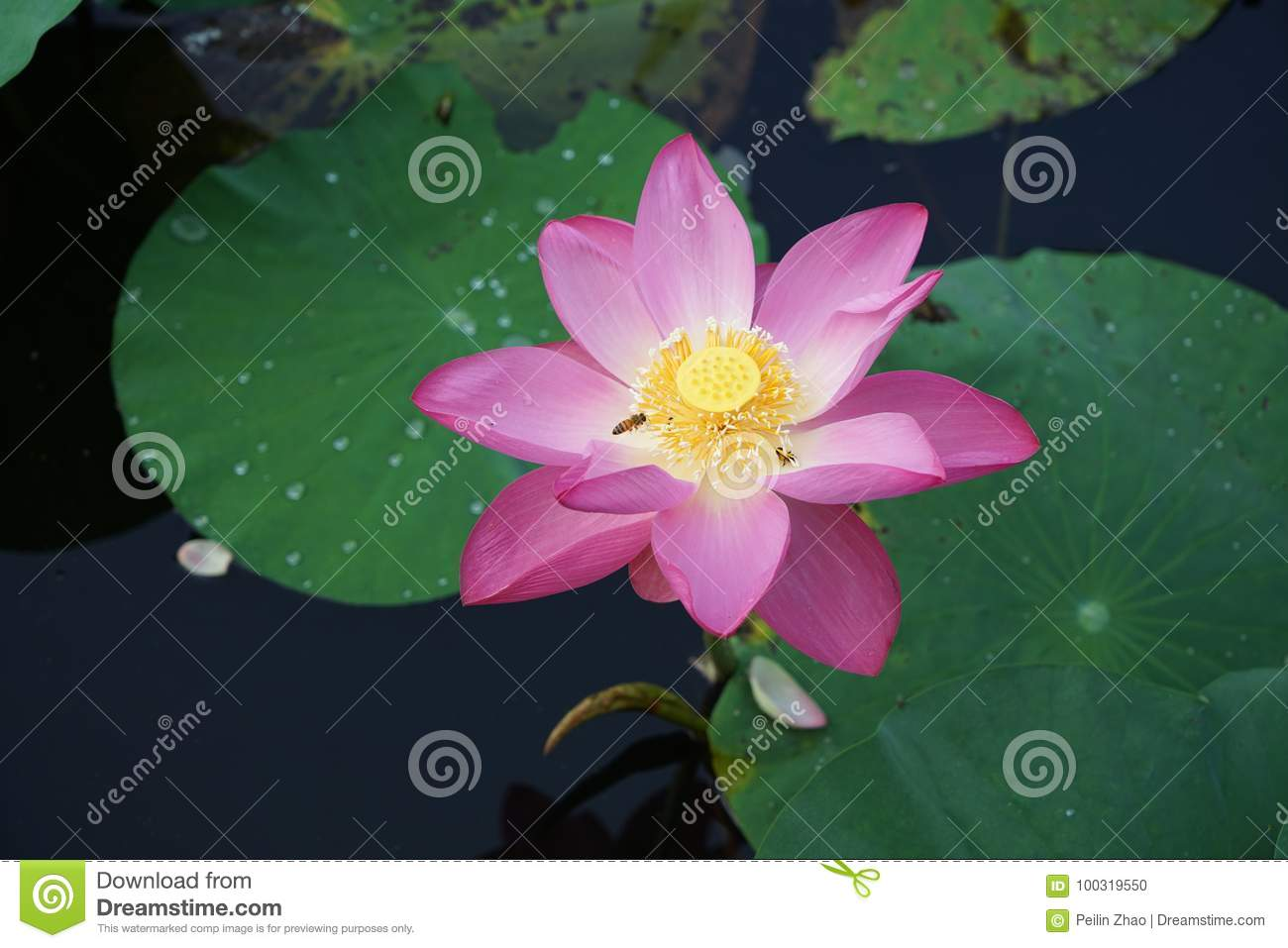 Lotus Flower Stock Photo Image Of Splendid Pink Rain 100319550