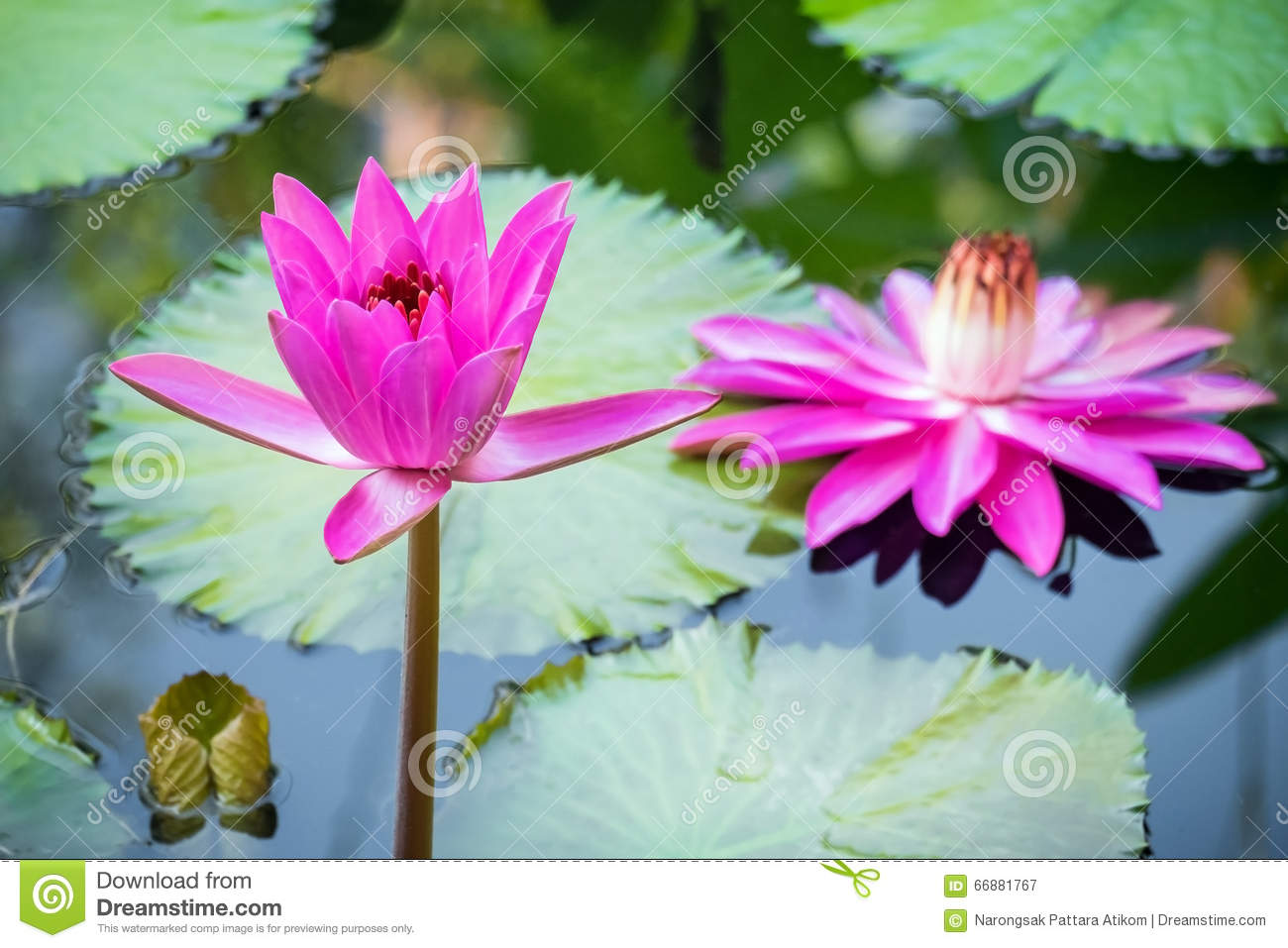 Lotus Flower And Lotus Flower Plants Stock Image Image Of