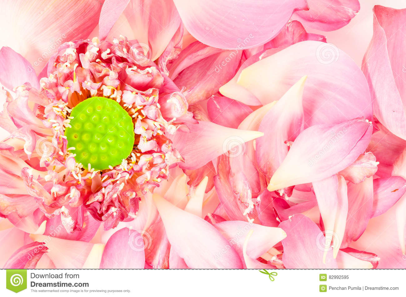 Lotus Flower With Lotus Petals Stock Image Image Of Blossom Drop