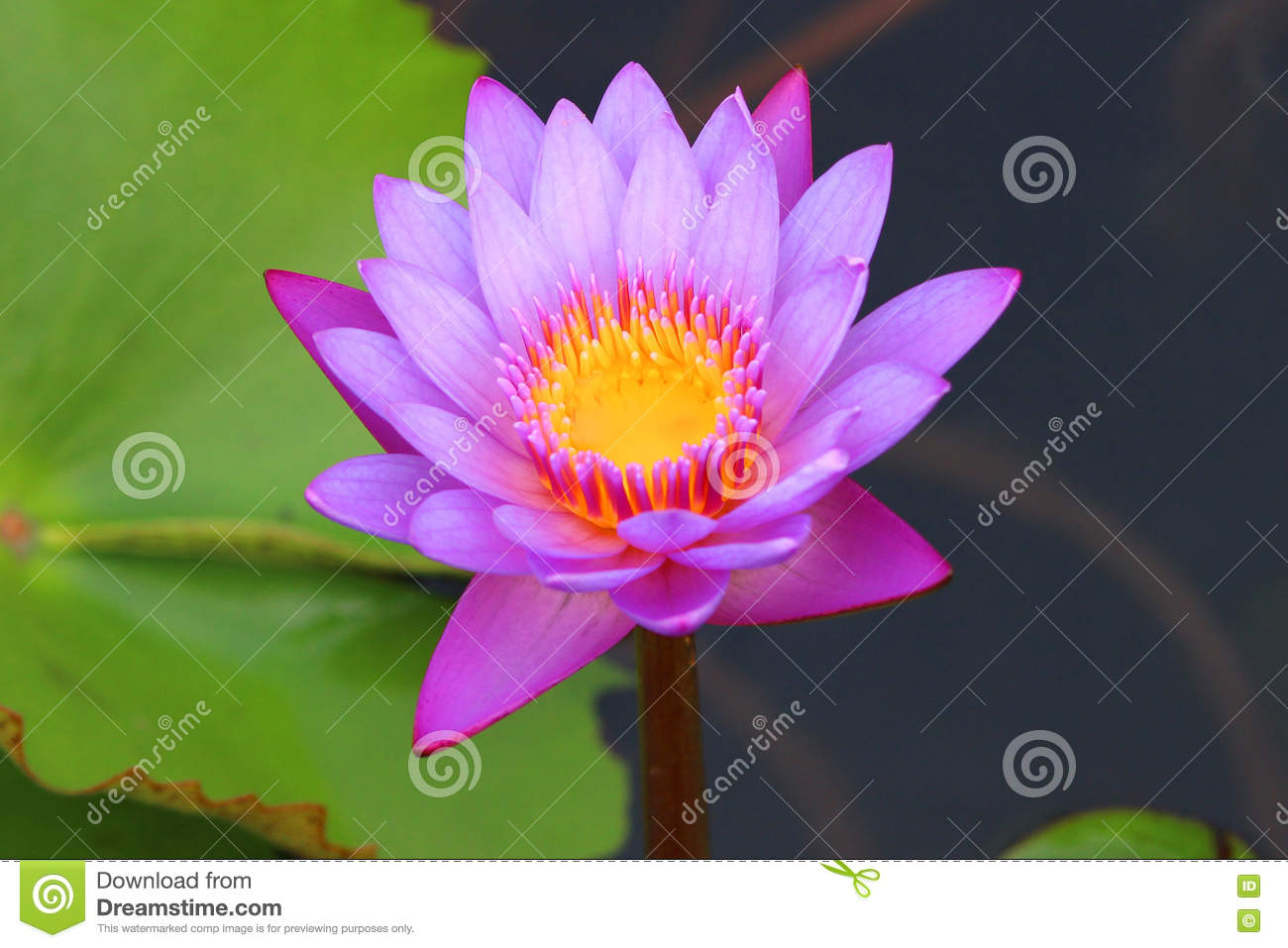 Lotus flower stock photo image of indian cases embedded 75237972 download lotus flower stock photo image of indian cases embedded 75237972 mightylinksfo