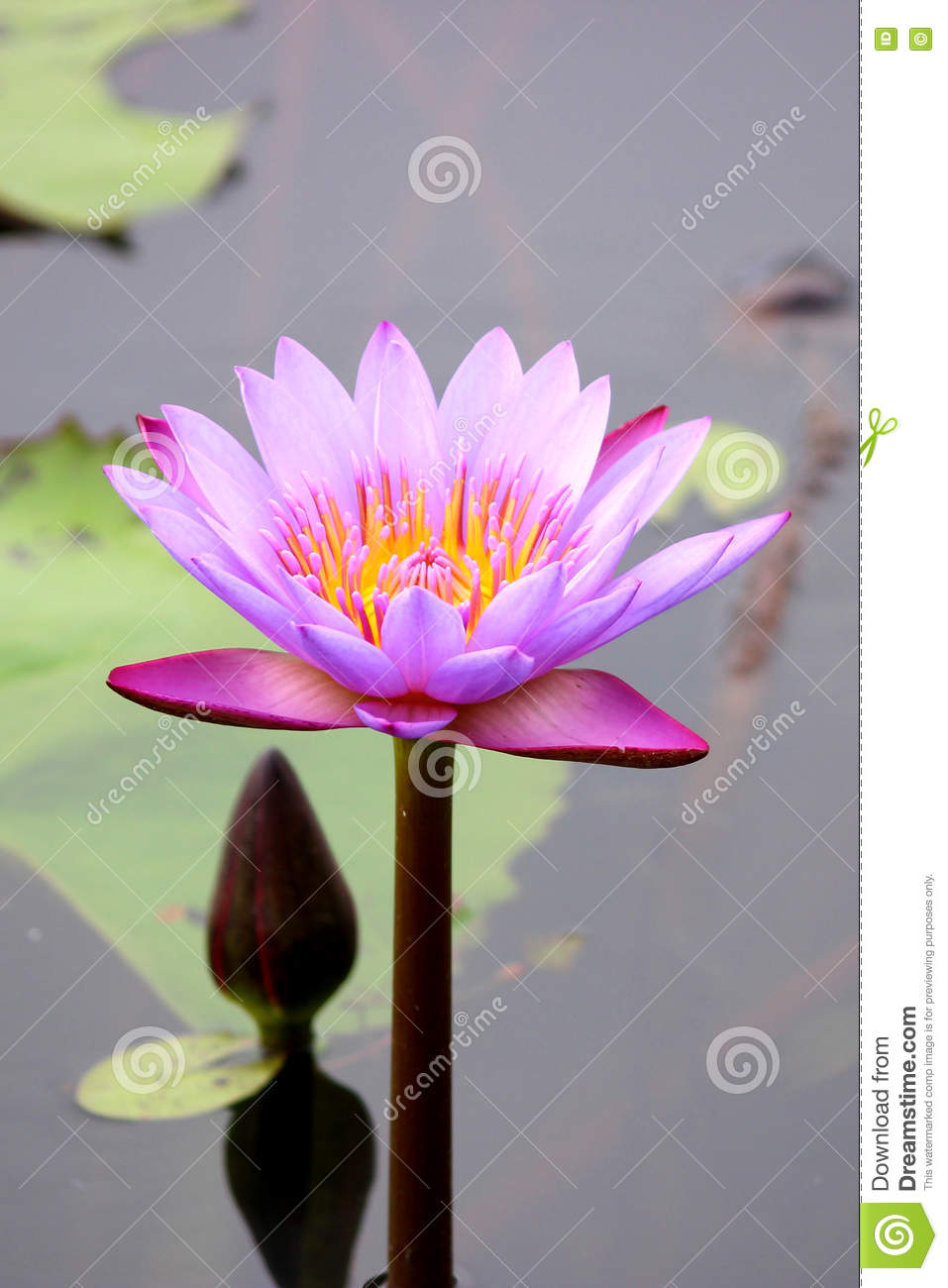 Lotus Flower Stock Photo Image Of India Edible Countries 75238064