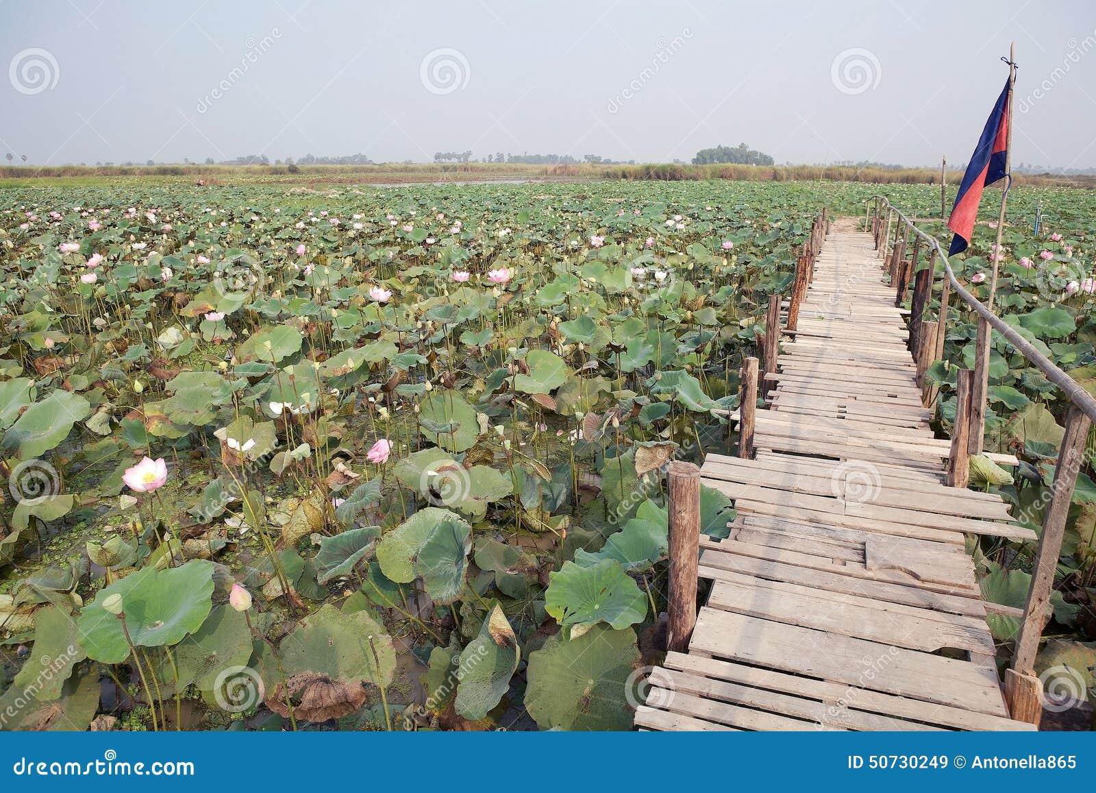 Lotus Flower Nelumbo Nucifera Stock Image Image Of Flower Siem