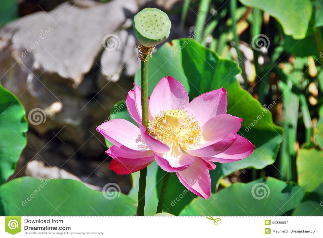 Lotus Flower Stock Photo Image Of Delicate Bright Including