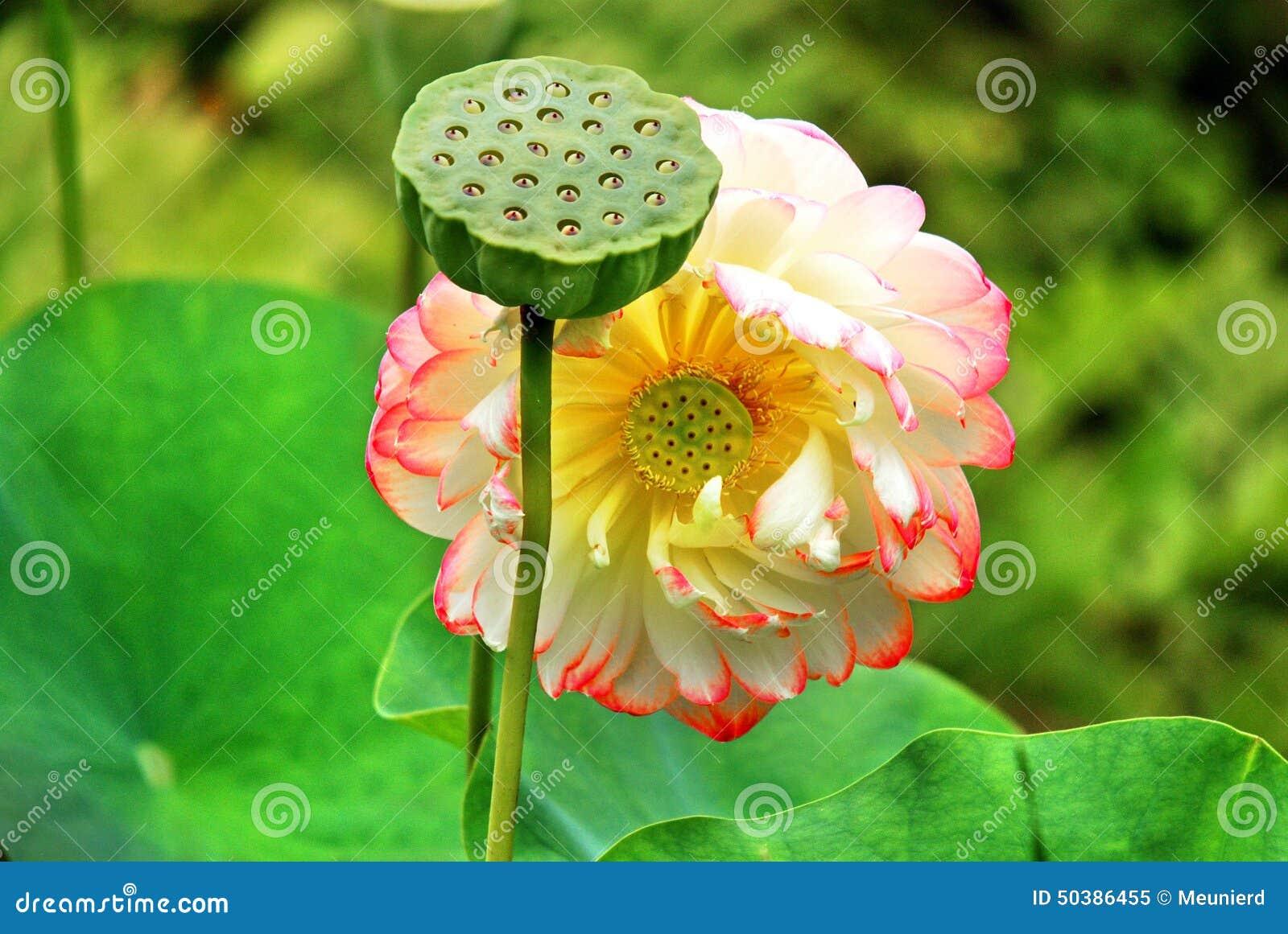Lotus Flower Stock Image Image Of Garden Bright Blossom 50386455