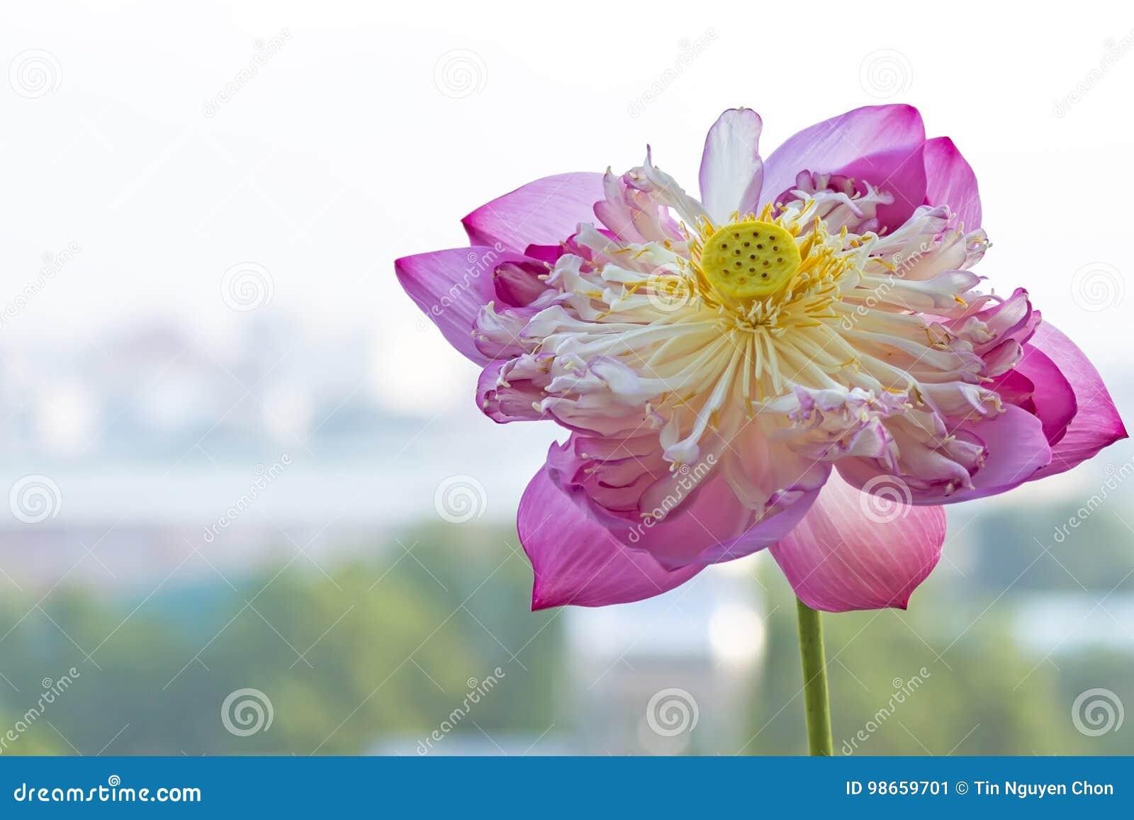 Lotus flower stock image image of sacred names pink 98659701 download lotus flower stock image image of sacred names pink 98659701 mightylinksfo