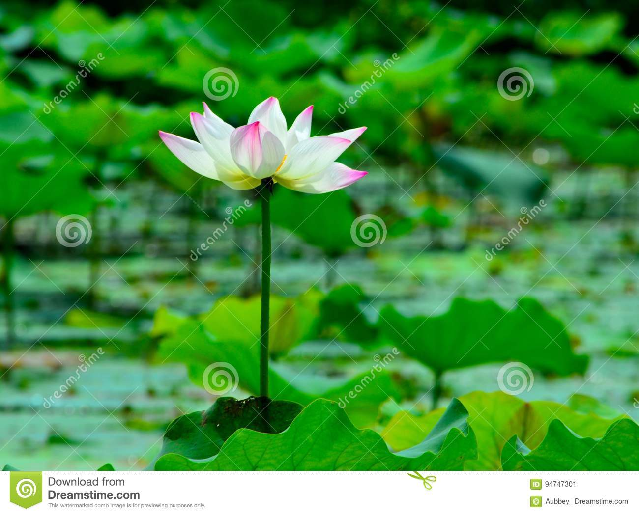 The Lotus Flower Opens To Reveal Stock Image Image Of Color