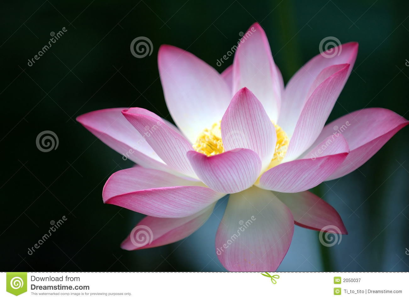 lotus flower over dark background royalty free stock photography, Beautiful flower