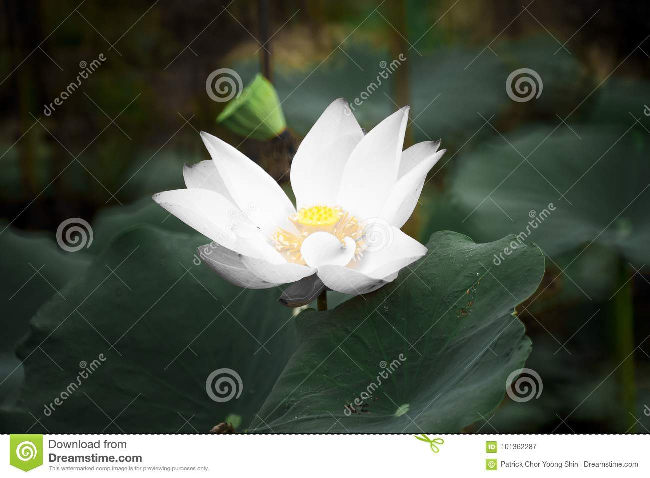 Lotus Flower Stock Image Image Of Flower Unity Peace 101362287