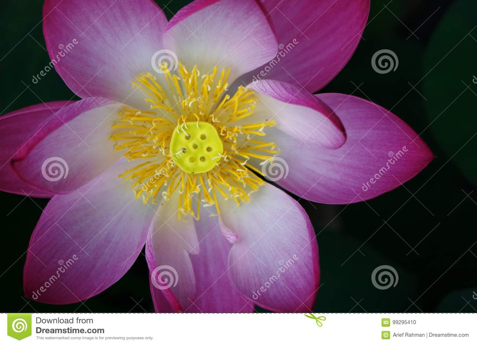 Lotus Flower Petal Stock Photo Image Of Plant Flora 99295410
