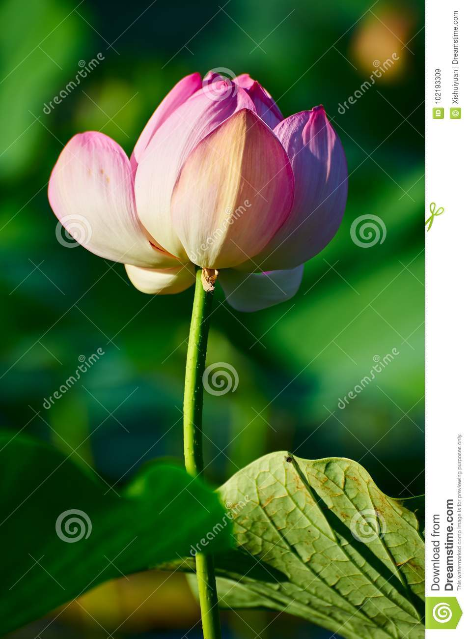 A lotus flower stock image image of asia architecture 102193309 a lotus flower izmirmasajfo