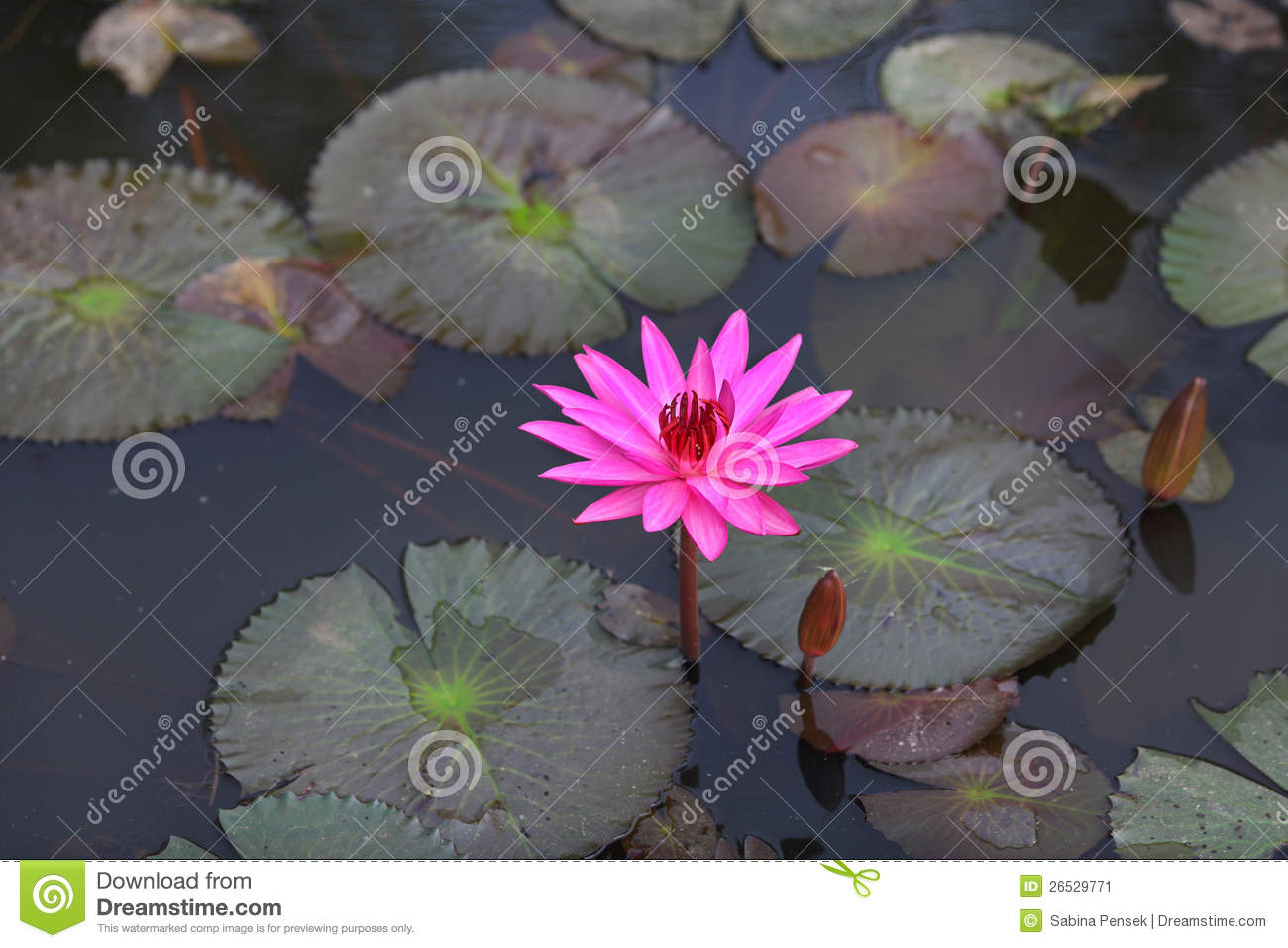 Lotus Flower In Pink Color Growing In The Pond Stock Image Image
