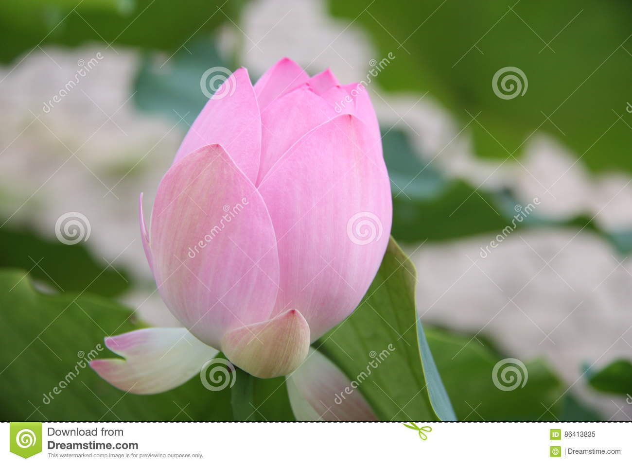 Lotus flower pink lily water nature lotus root stock image lotus flower pink lily water nature lotus root mightylinksfo