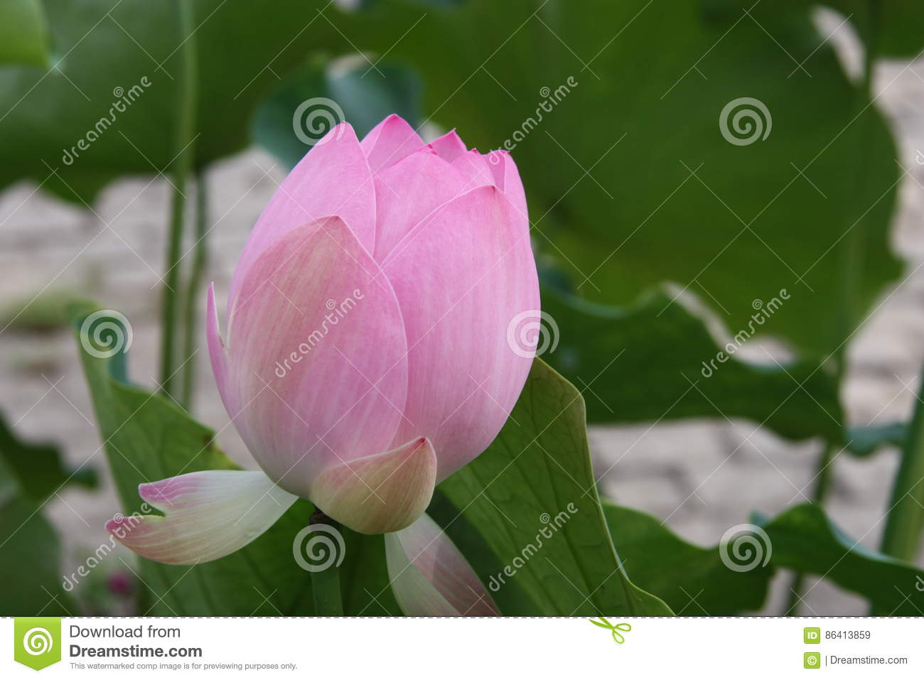 Lotus flower pink lily water nature lotus root stock photo chinese flower hibiscus lily lotus nature pink dhlflorist Images