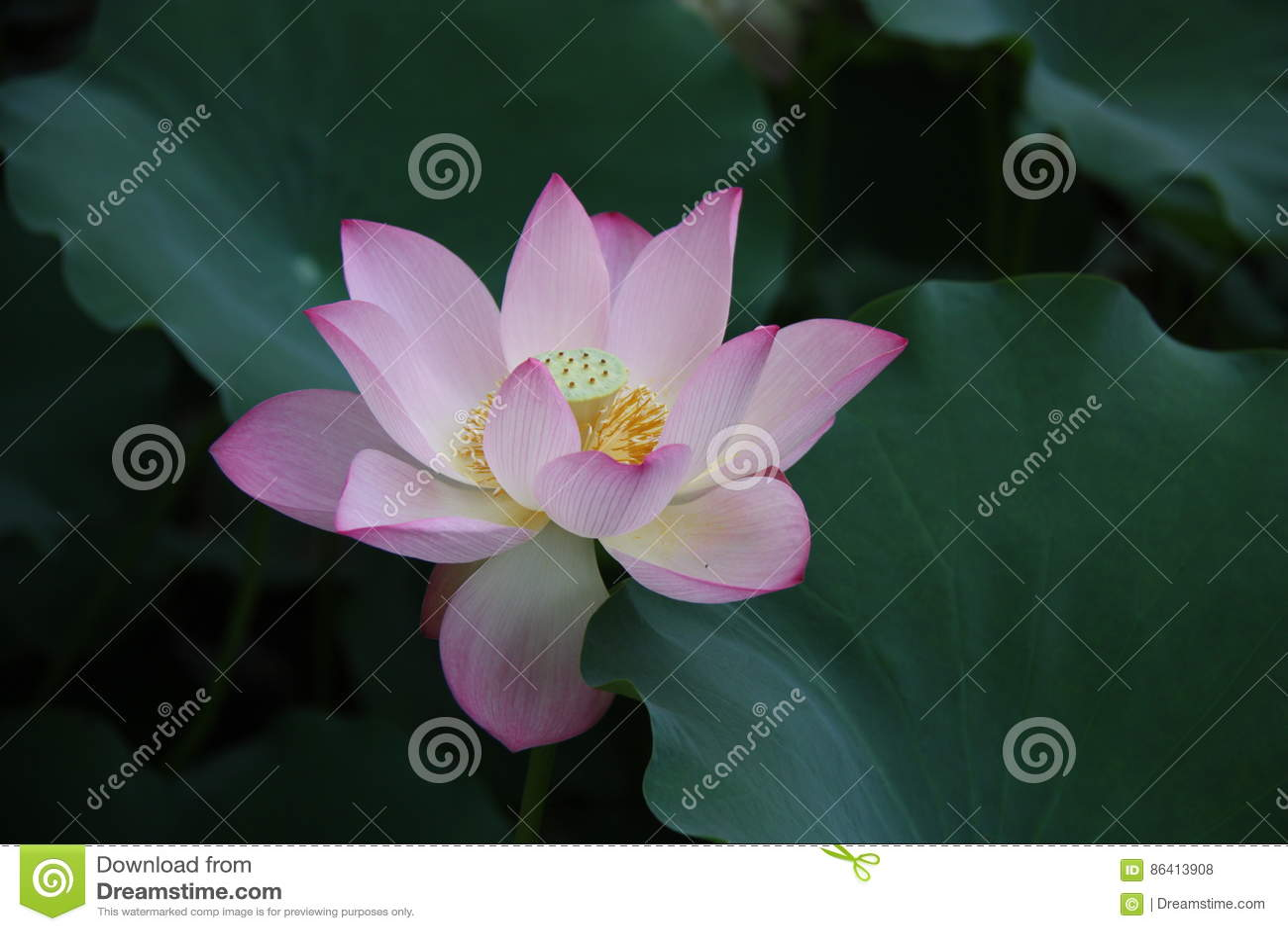 Lotus Flower Pink Lily Water Nature Lotus Root Stock Photo