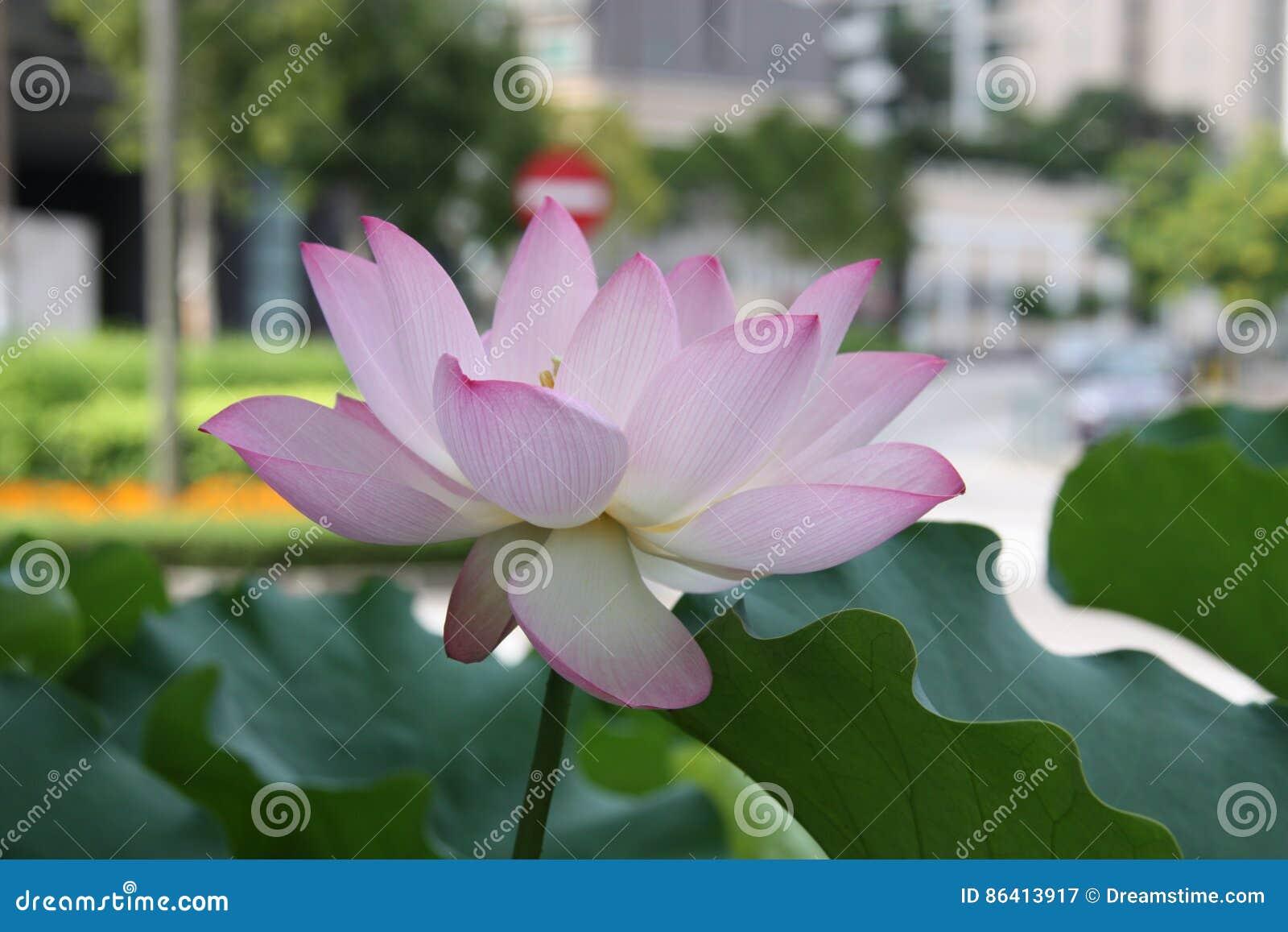 Lotus Flower Pink Lily Water Nature Lotus Root Stock Image