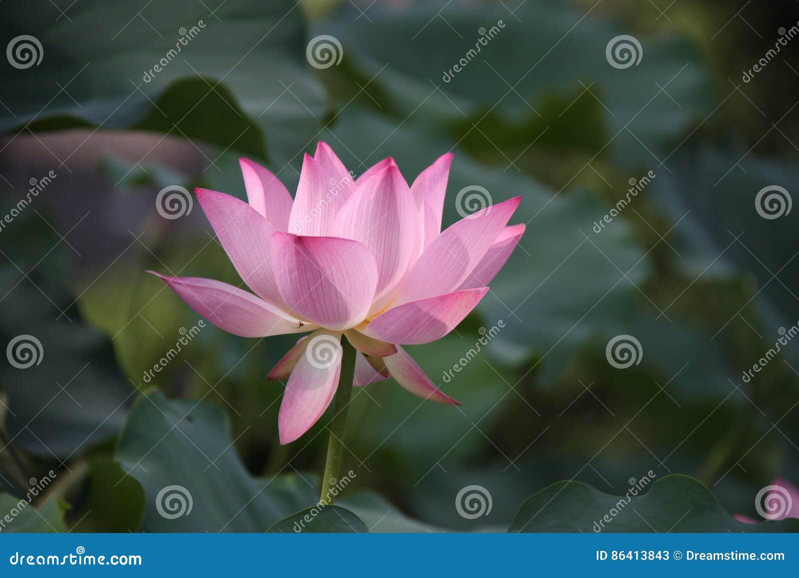 Lotus flower pink lily water nature lotus root stock image lotus flower pink lily water nature lotus root izmirmasajfo