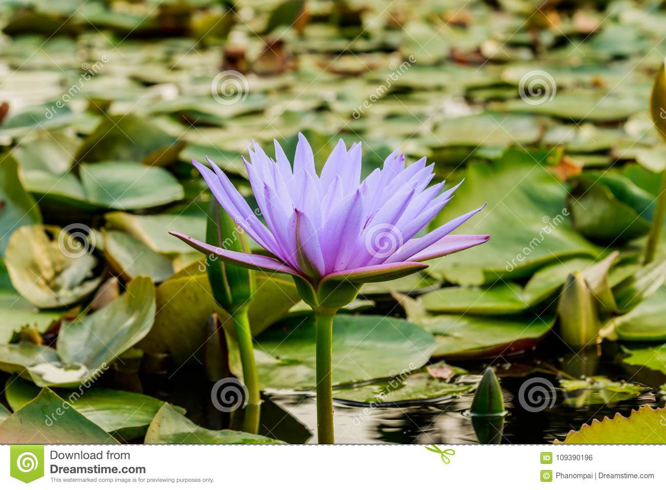 Lotus Flower And Lotus Flower Plants Stock Photo Image Of Beauty