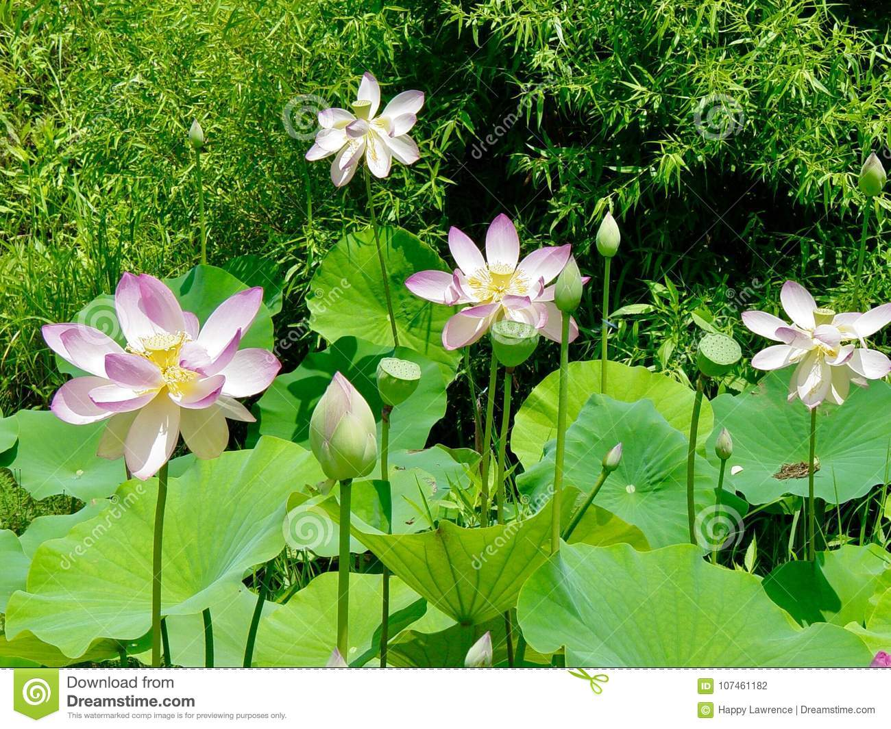 Lotus Flower In Pond Stock Photo Image Of Pond Flora 107461182